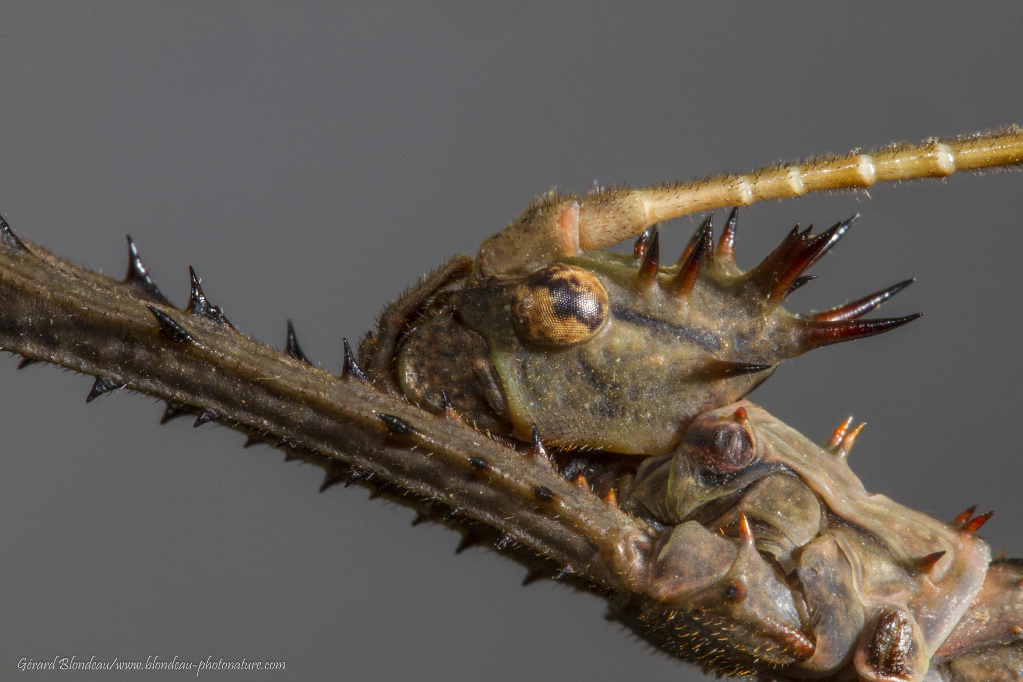 Phasme Heteropteryx mâle