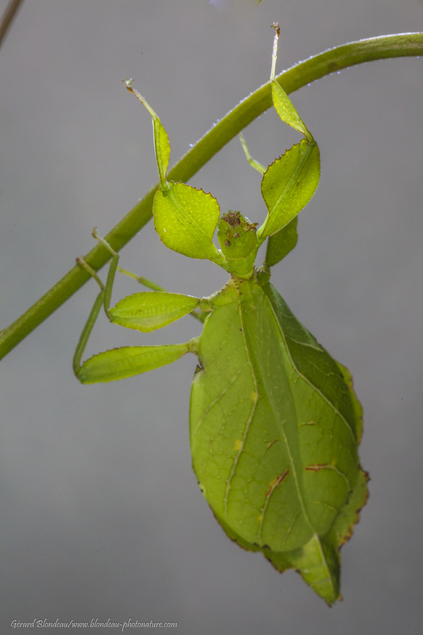 Phasme feuille, phyllie
