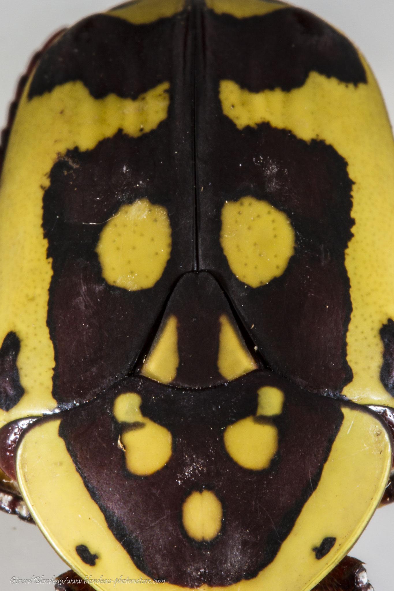 Cétoine africaine Pacnoda sinuata