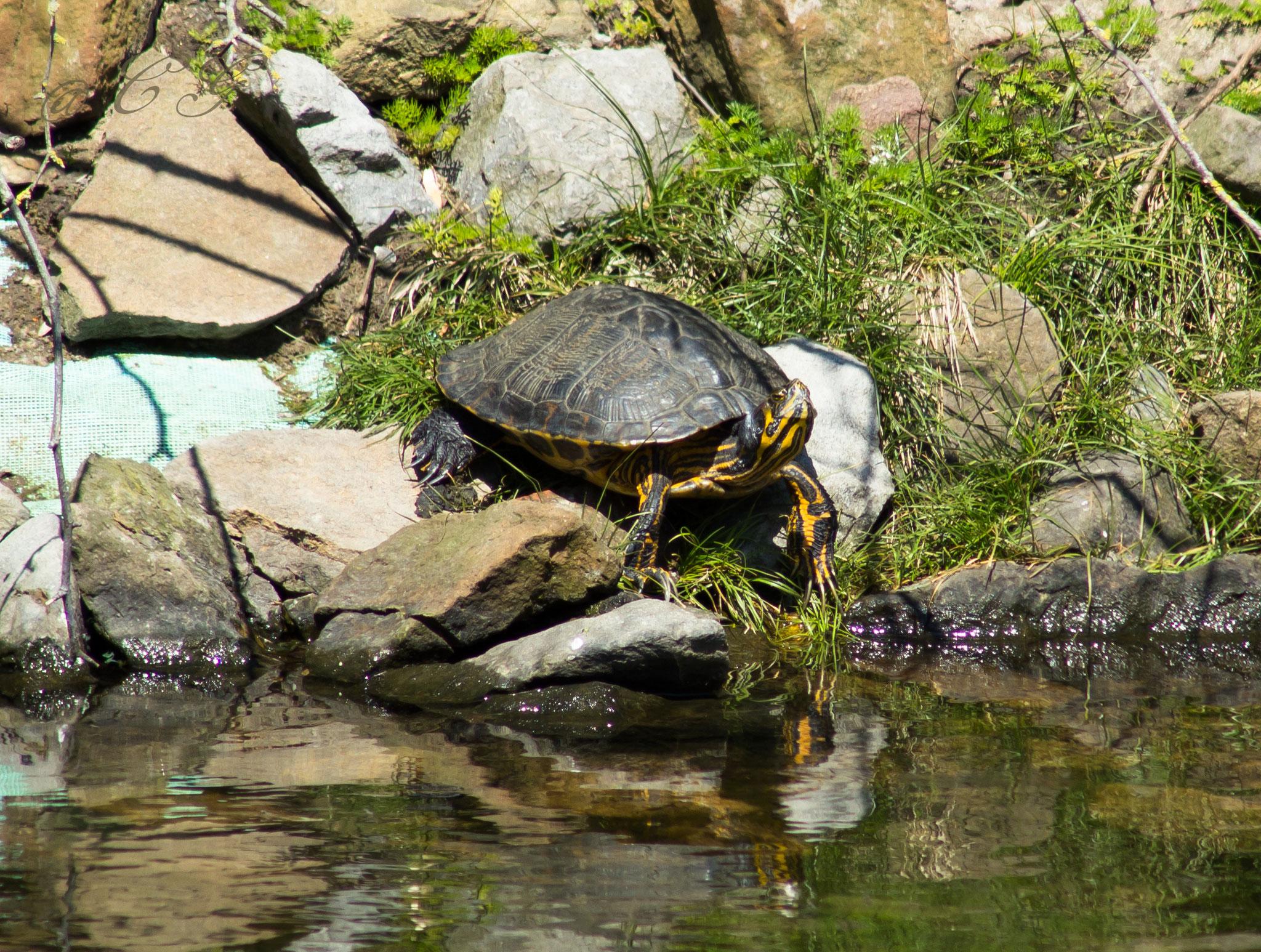 Wasserschildkröte leider eine ausgesetzte