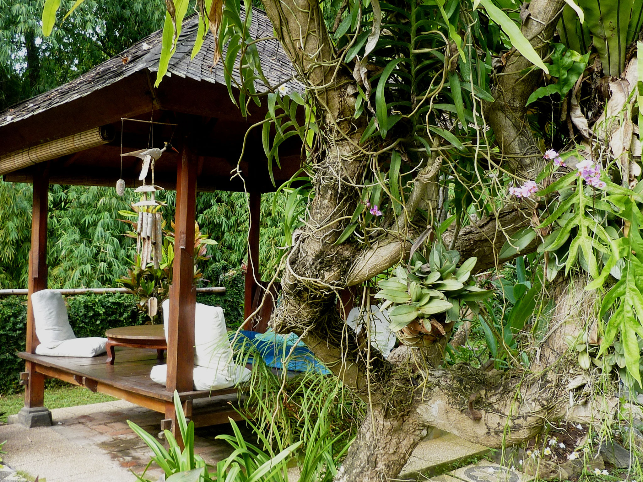 Orchids and other epiphytes on frangipani tree