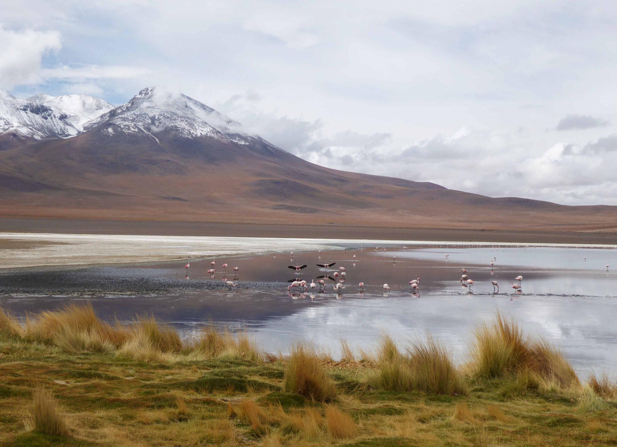 Sur fond de sommets enneigés, les flamands occupent la laguna Cañapa (4140 m)