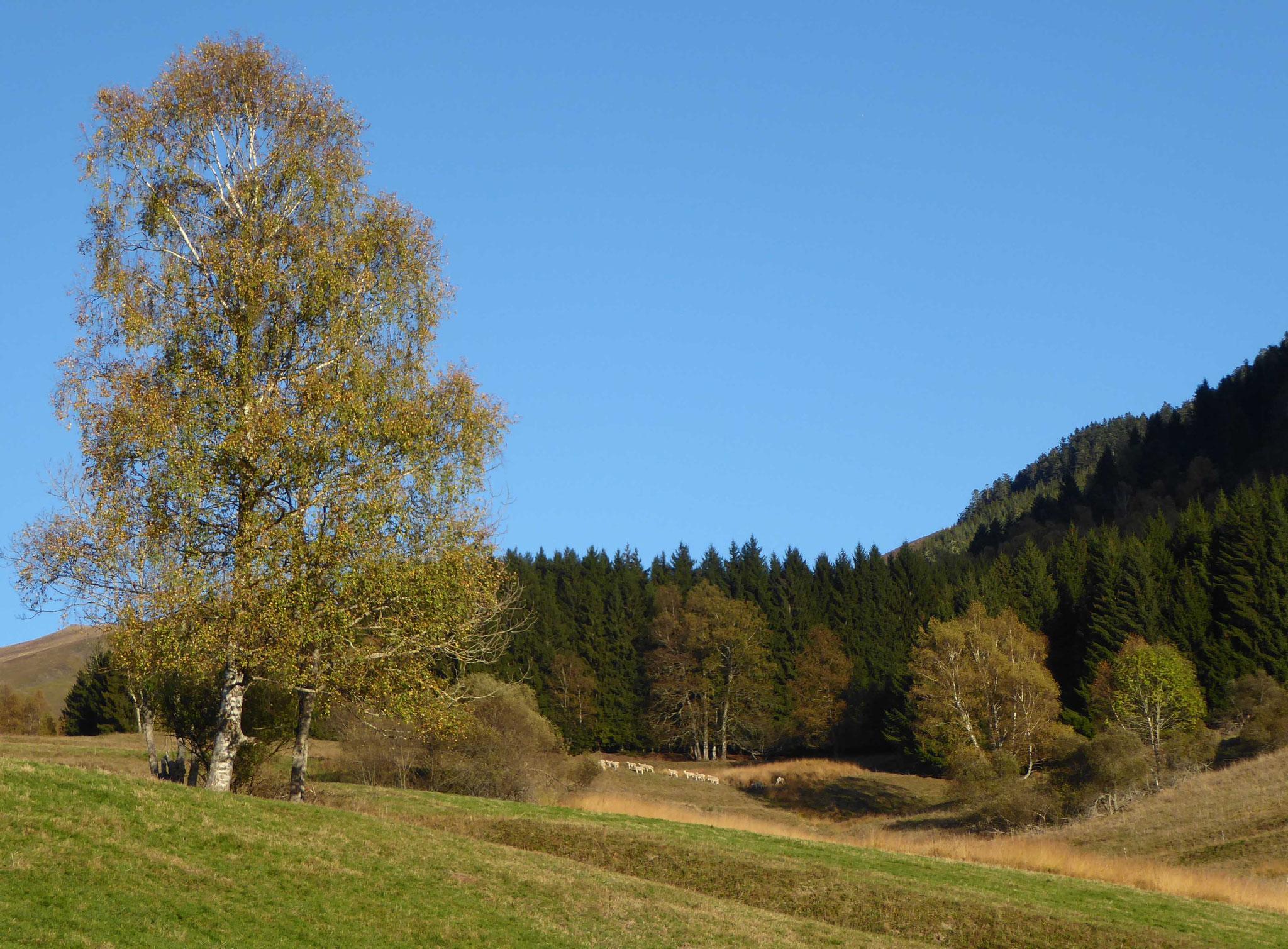 Les troupeaux sont encore en haut alors que les couleurs d'automne dominent