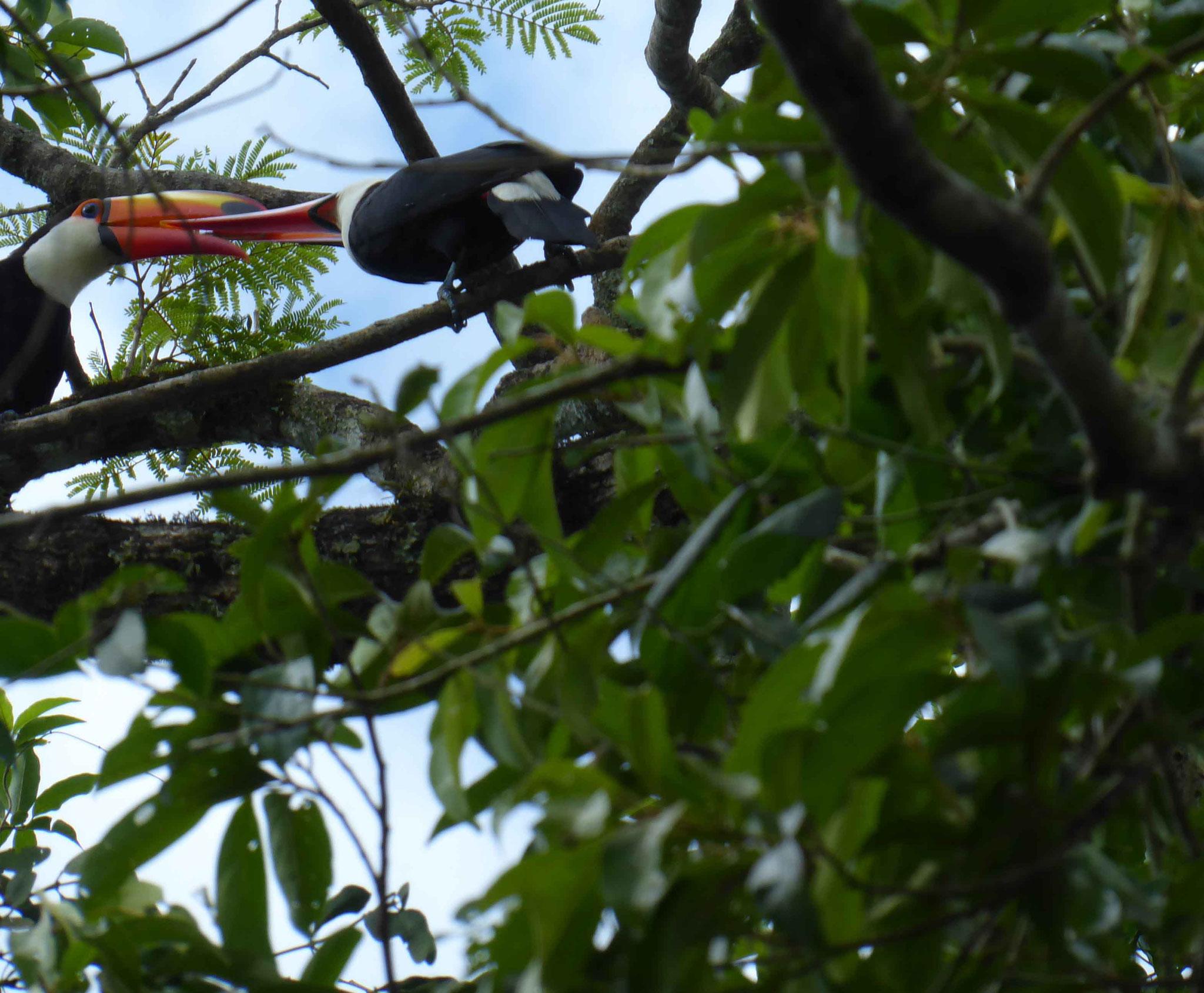 Parade amoureuse de toucans