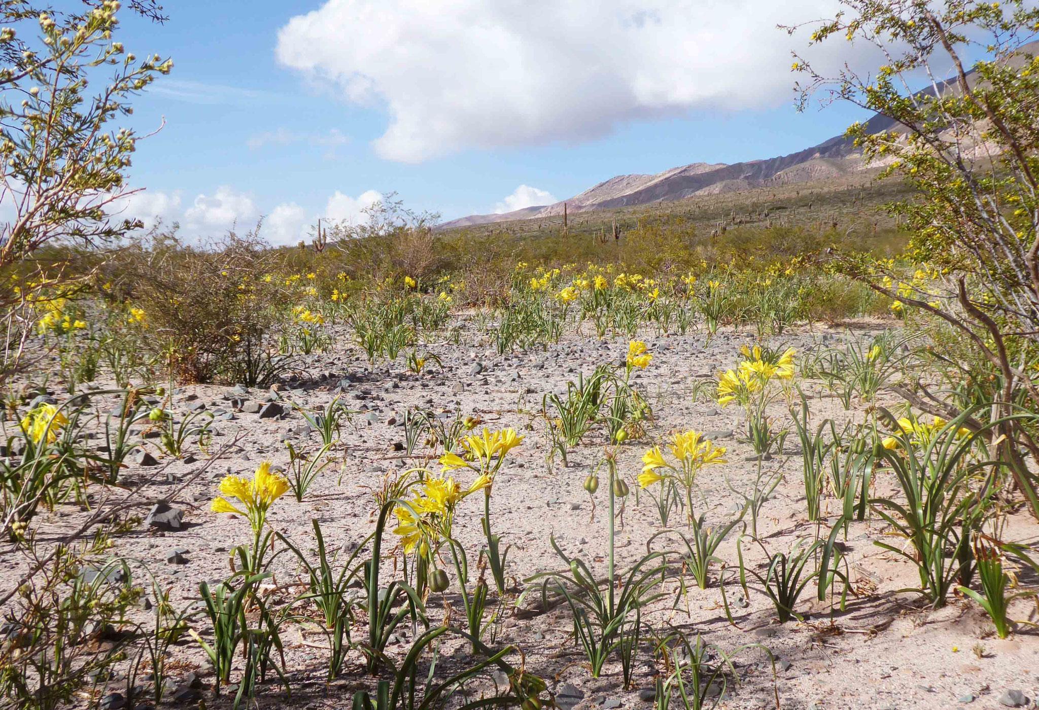 Tapis d'Amancay (variété de Lys des Incas) en fleur au pied du Cerro