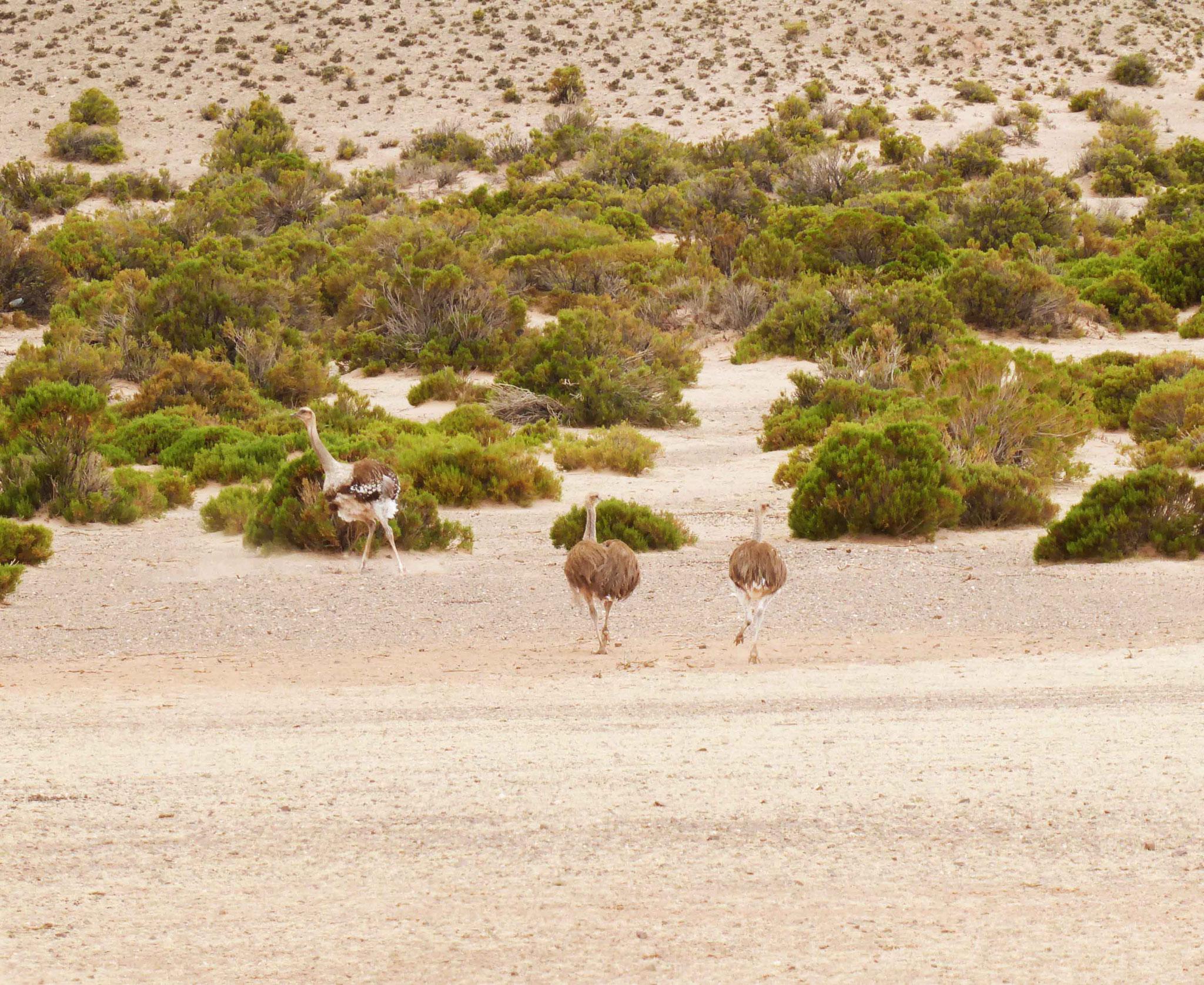 Assez difficile à observer, le ñandu (petite autruche) sur l'altiplano