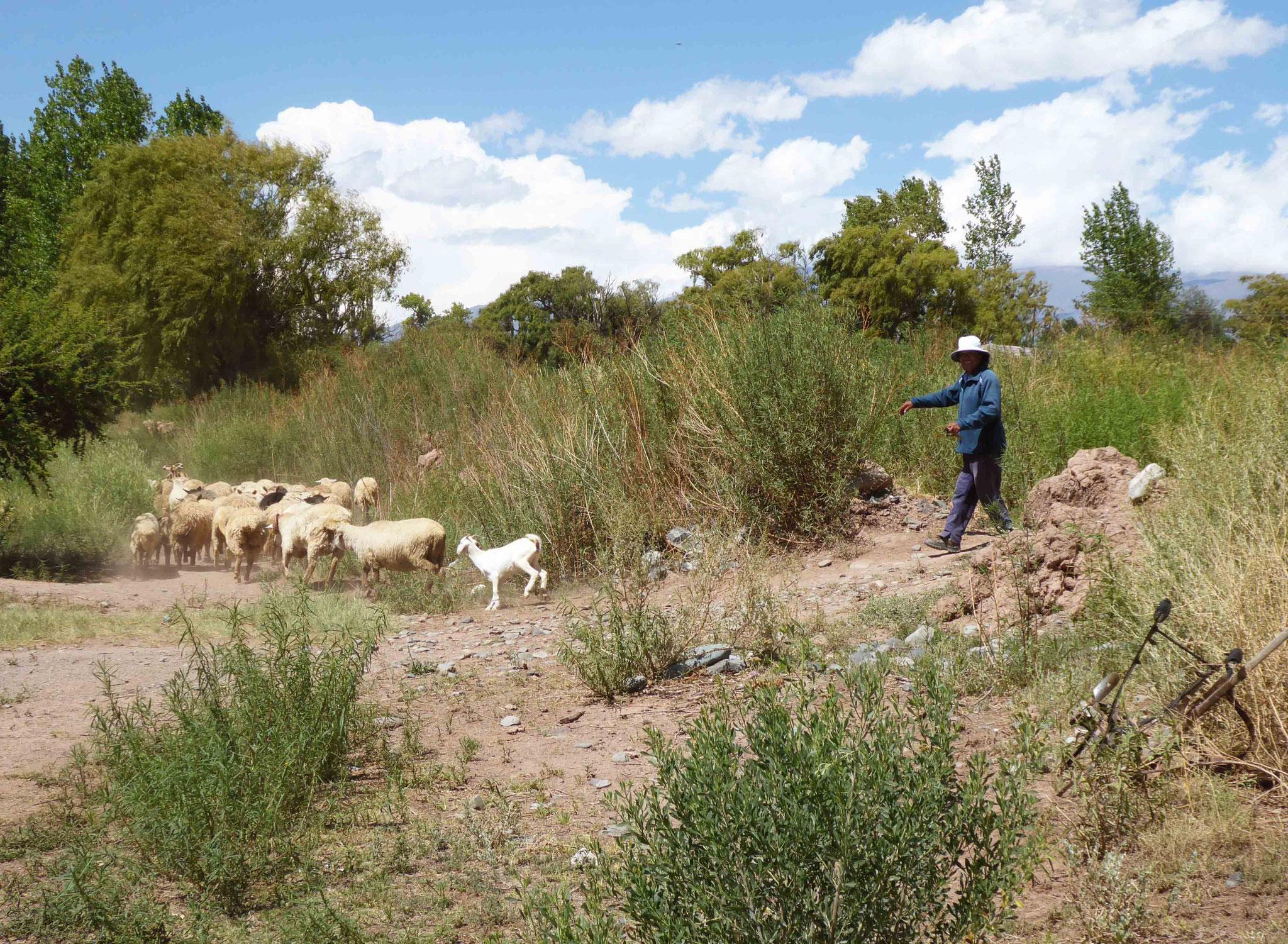 Guidage du troupeau au paturage