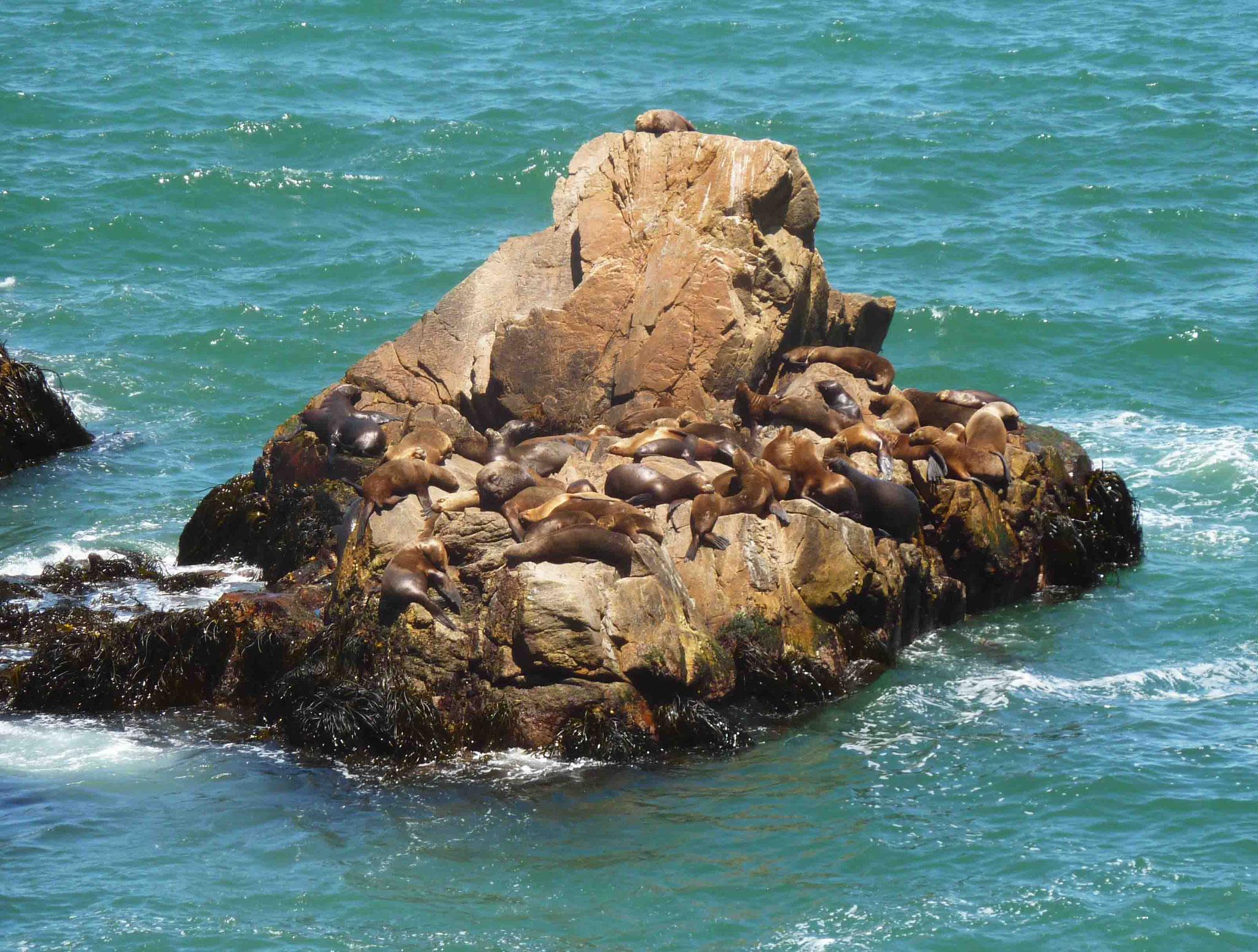 Les loups de mer (Lobos del mar) juchés sur leur rocher habituel