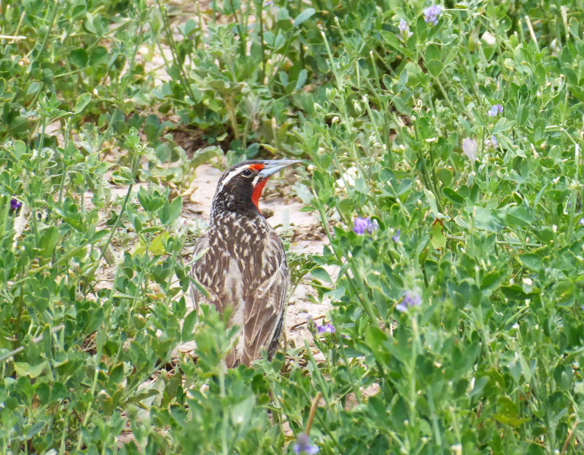 Variété de pic champêtre (Carpintero) surpris dans les herbes hautes