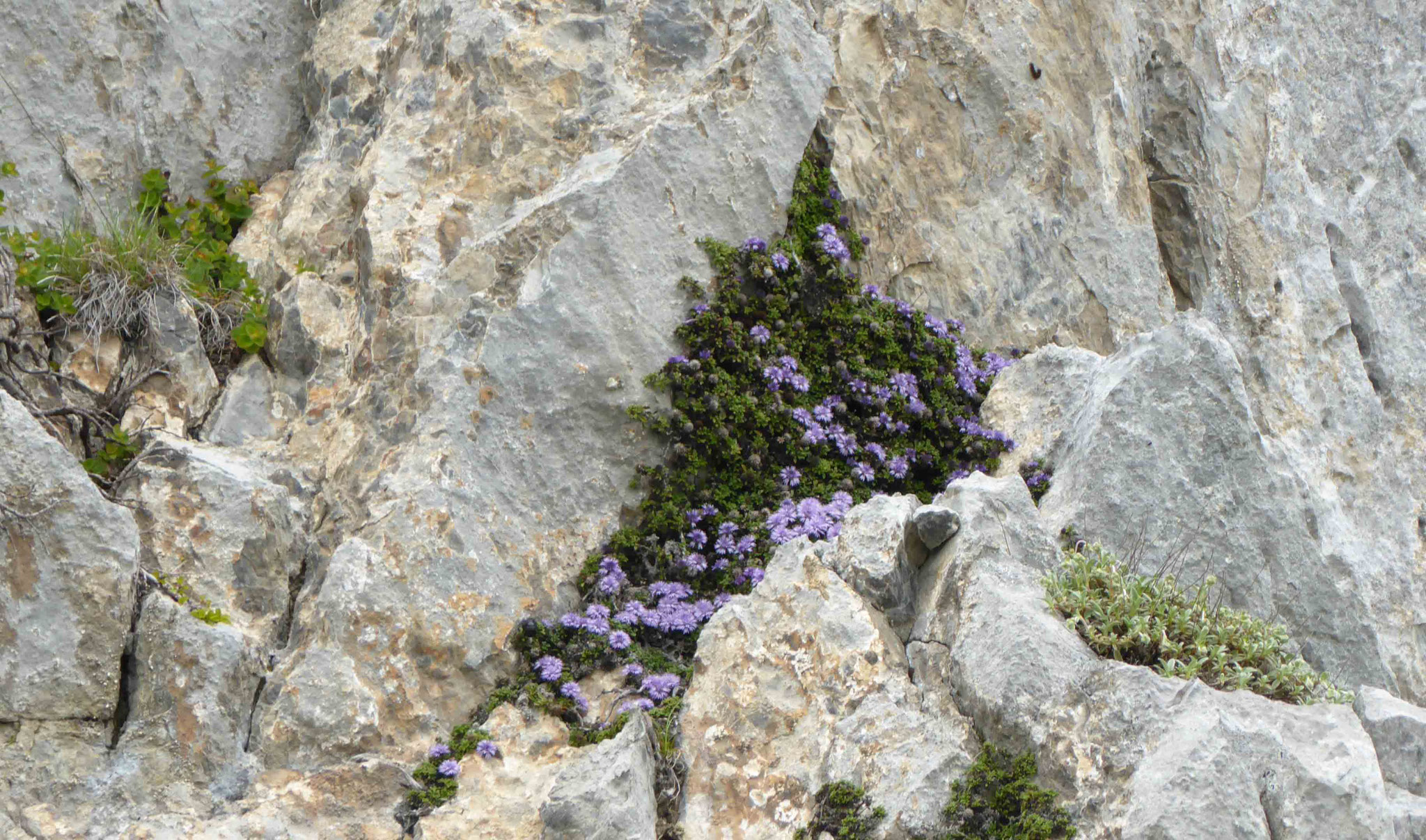Globulaires acaules au creux des rochers
