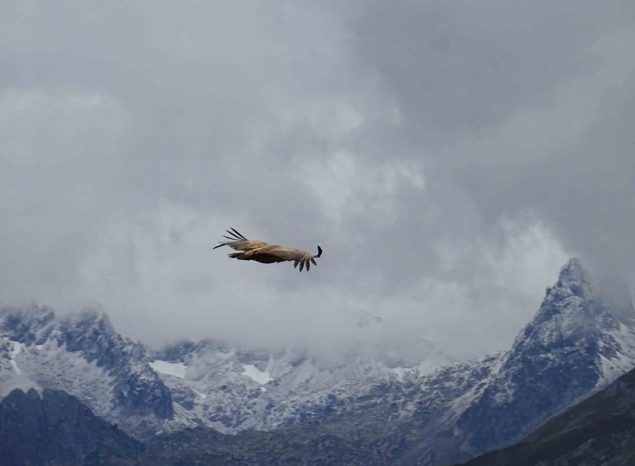 Vol de vautour fauve saisi sur fond de premières neiges