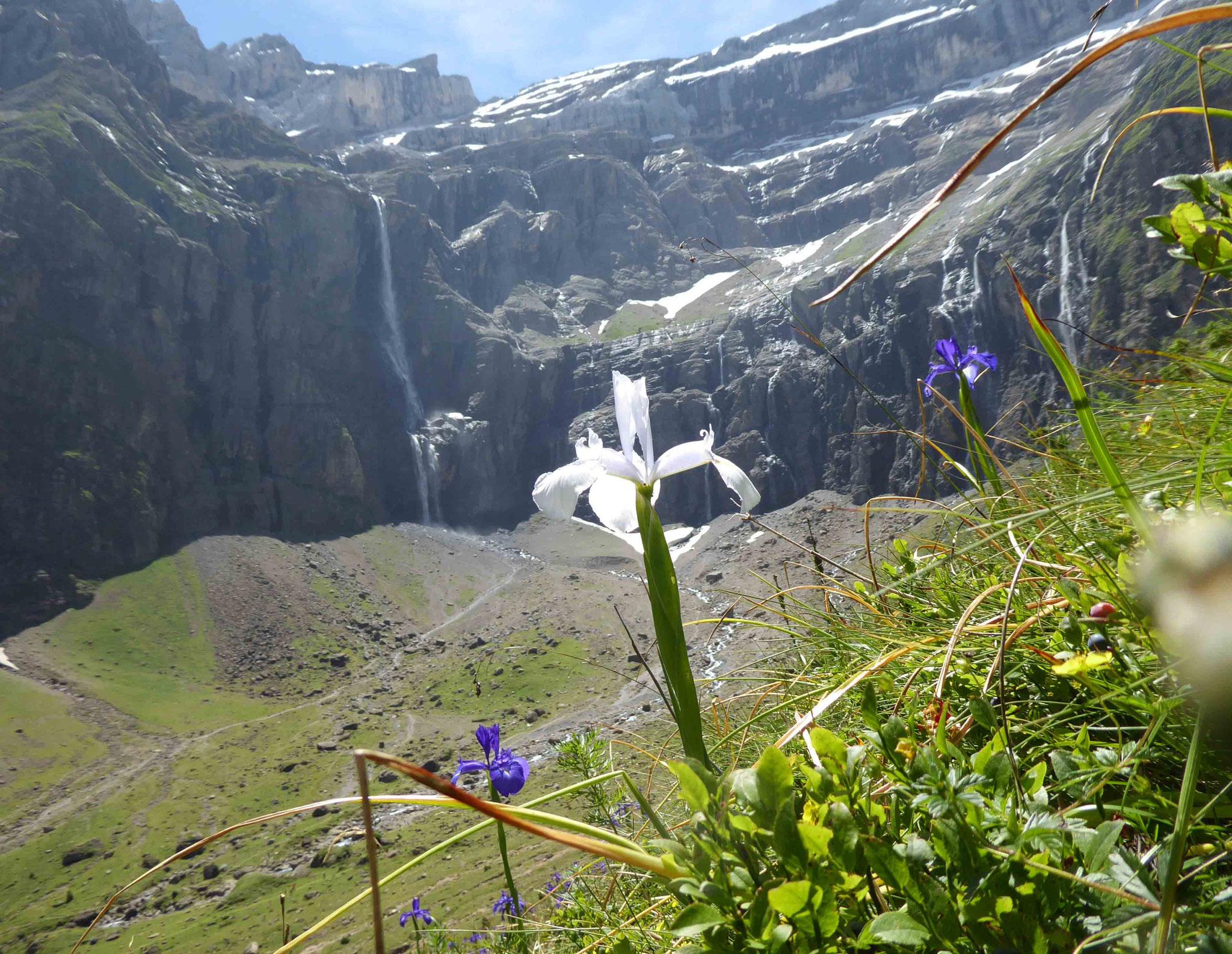 Facétieux Iris des Pyrénées... seul albinos au milieu de ses pairs bleus !