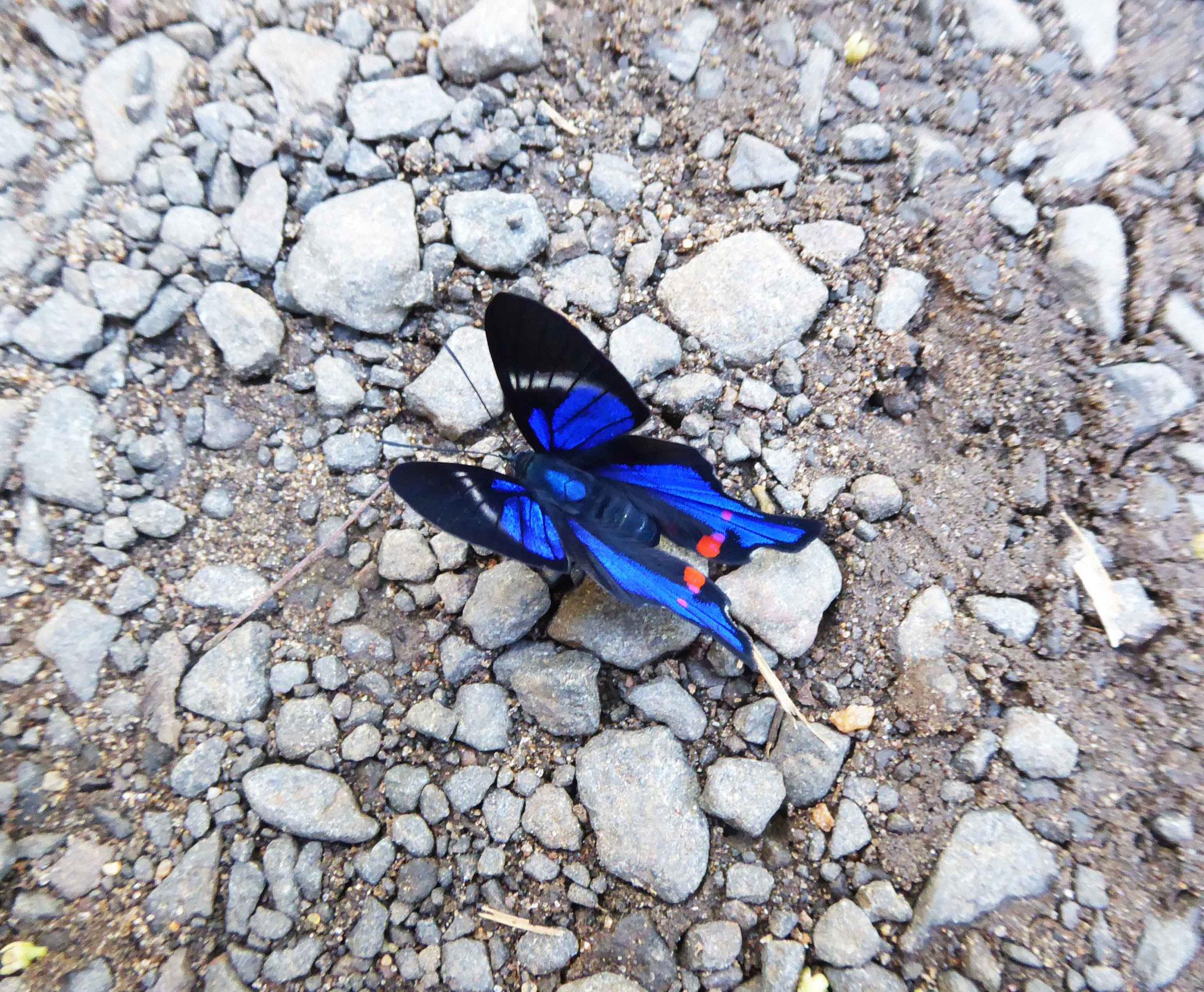 Superbe papillon à identifier...
