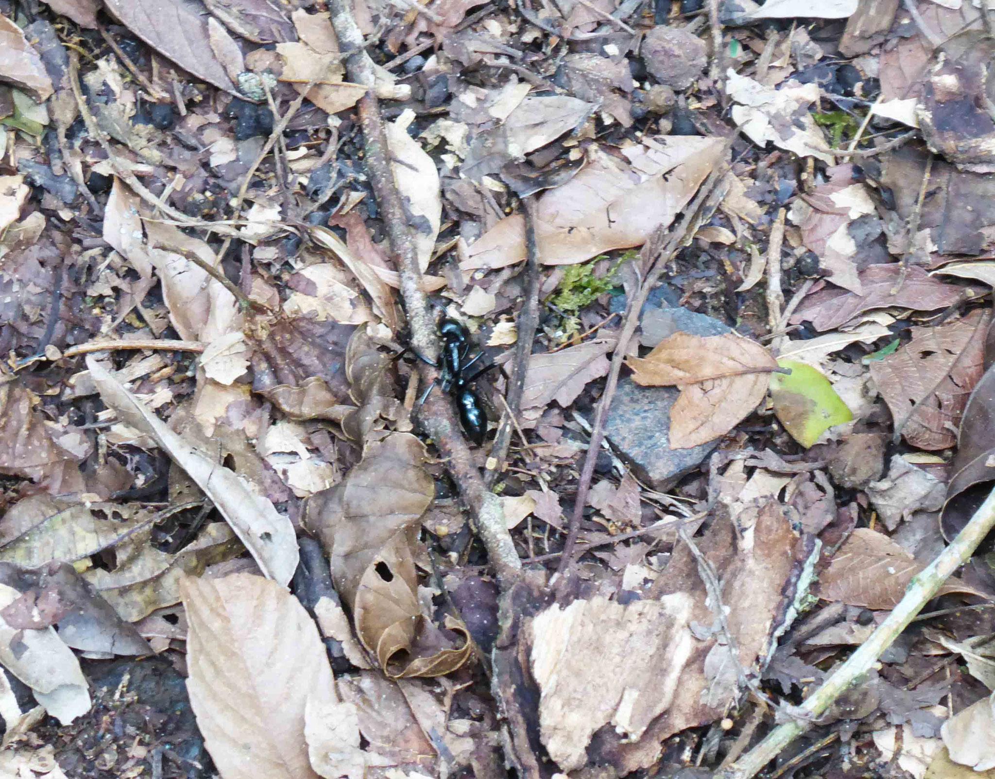 Un spécimen d'Otontomachus (fourmi géante)