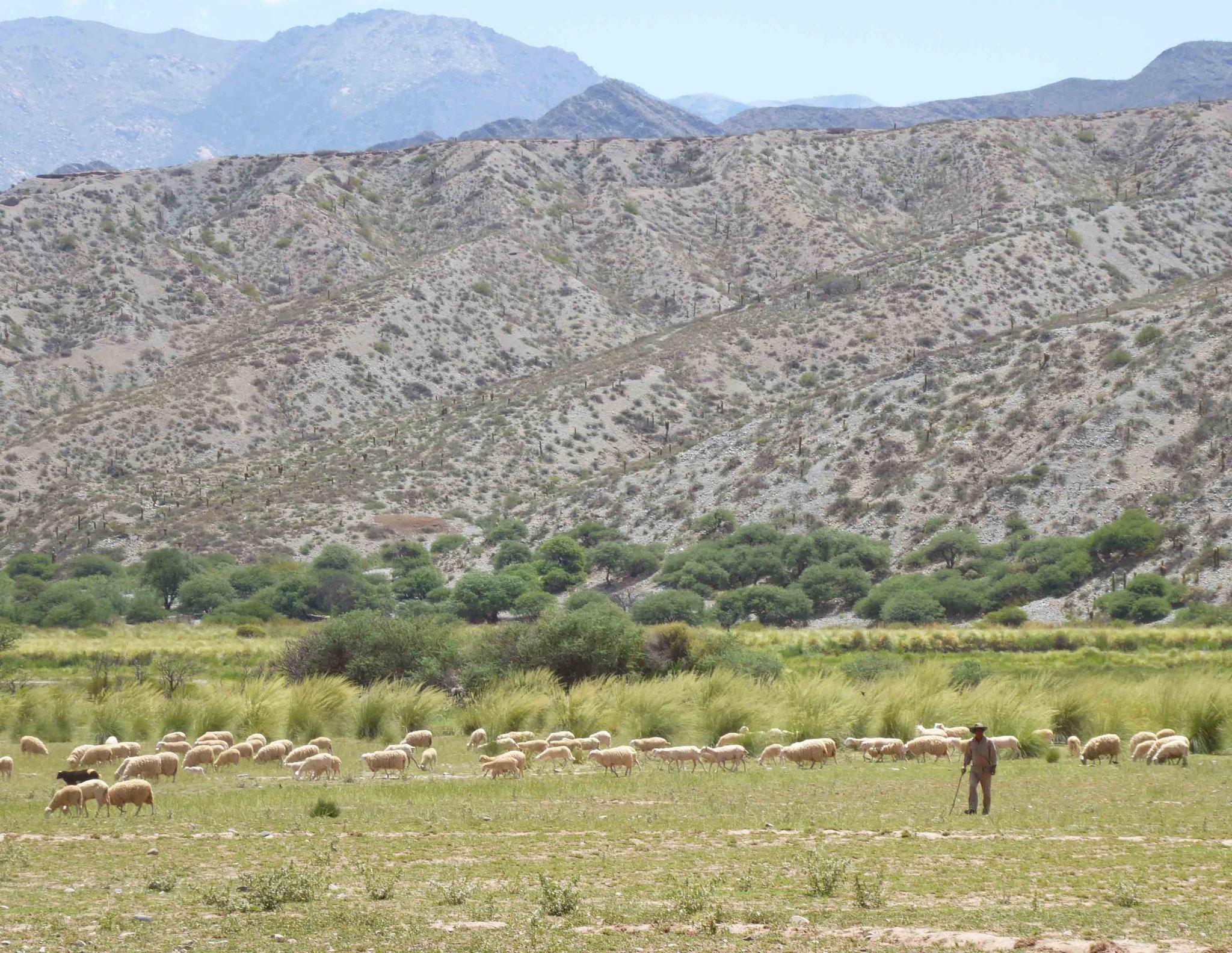 El pastor avec ses brebis au pied des contreforts du Nevado de Cachi