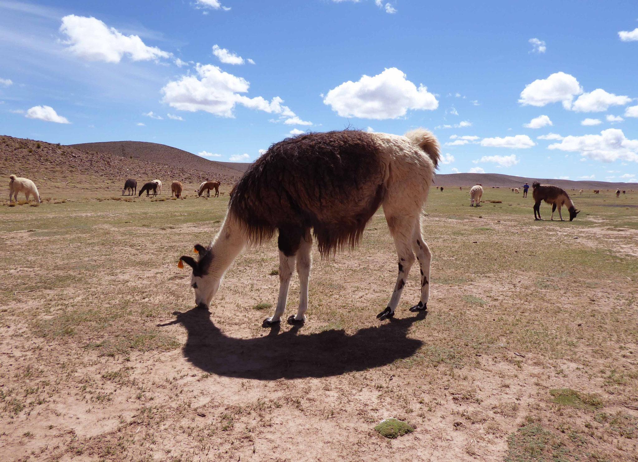Un troupeau de lamas domestiques au campo