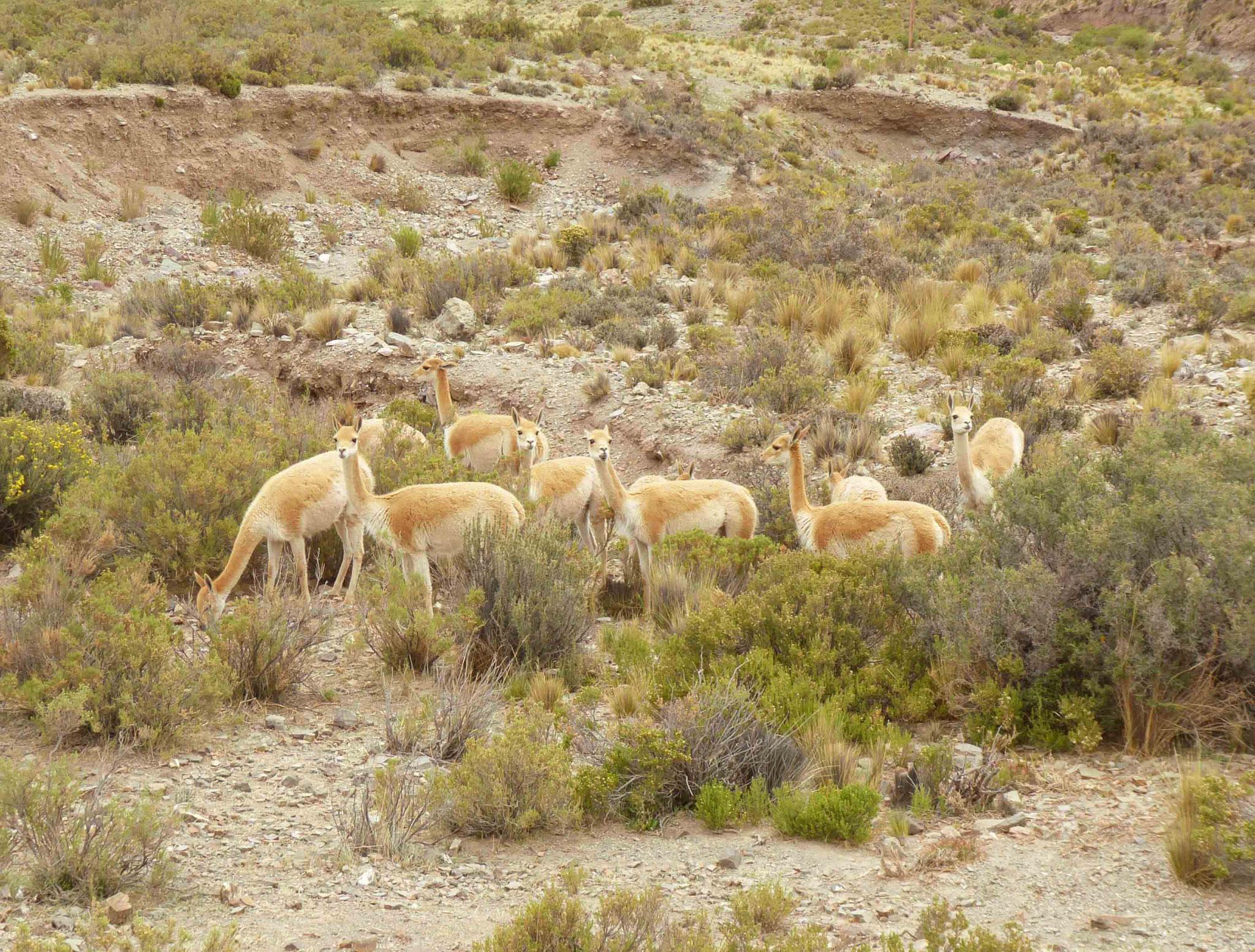 Petit groupe de vigognes vigilantes aux herbages