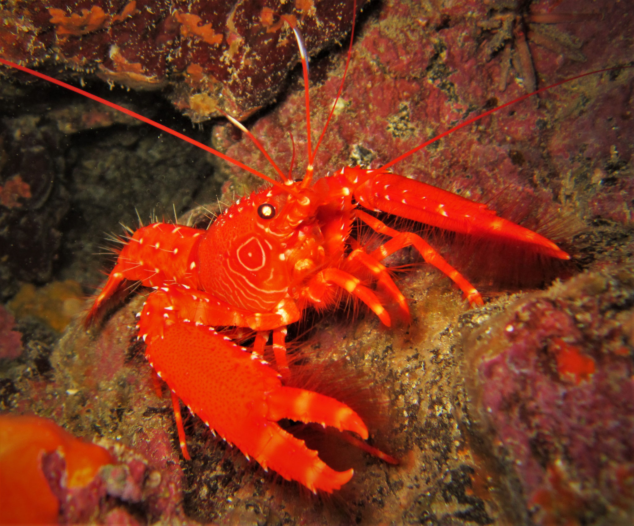 reef lobster - enoplometopus - Cabo Verde - pic by Markus Jimi Ivan - www.jimiivan.at