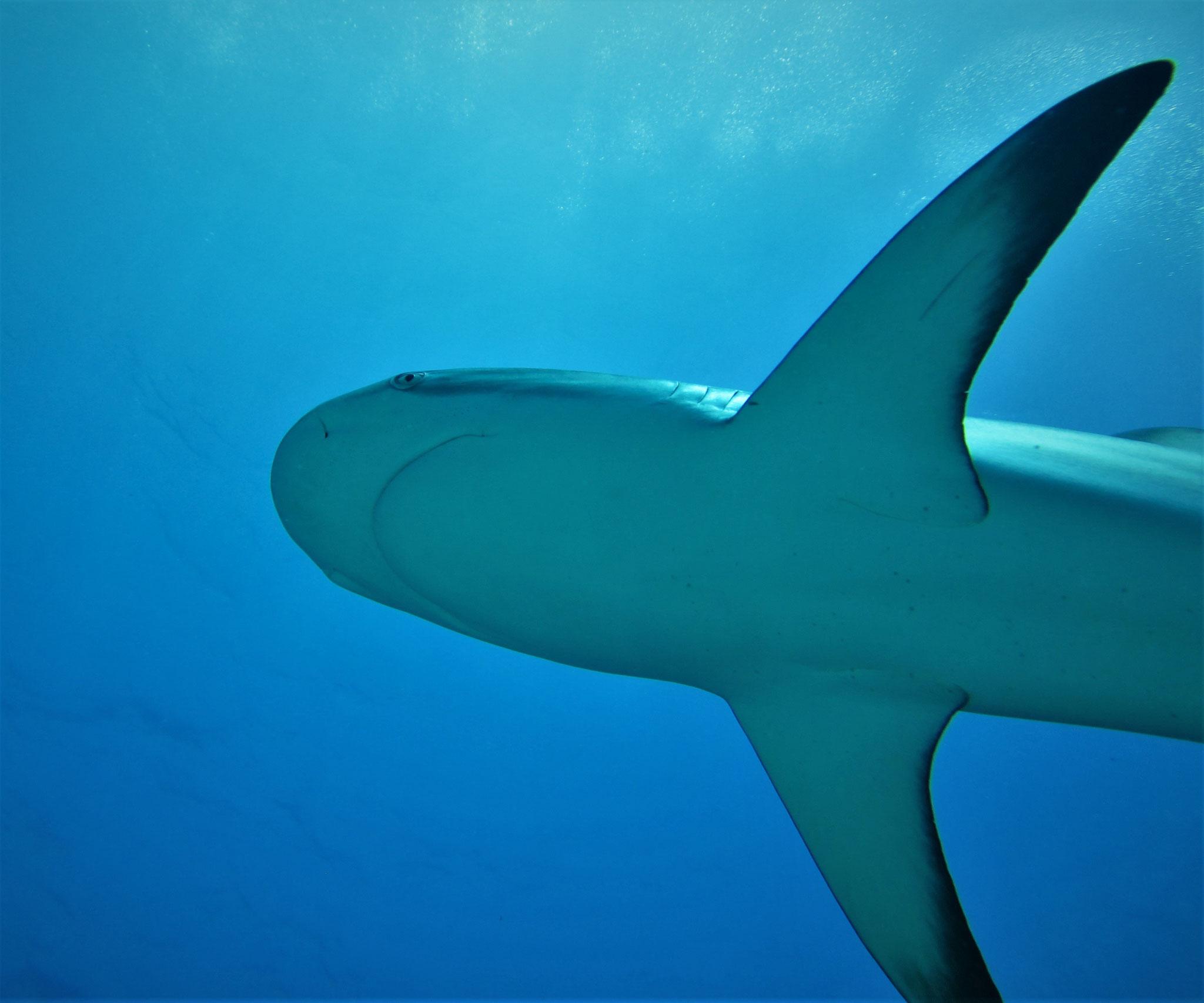 caribbean reef shark - pic by Markus Jimi Ivan - www.jimiivan.at
