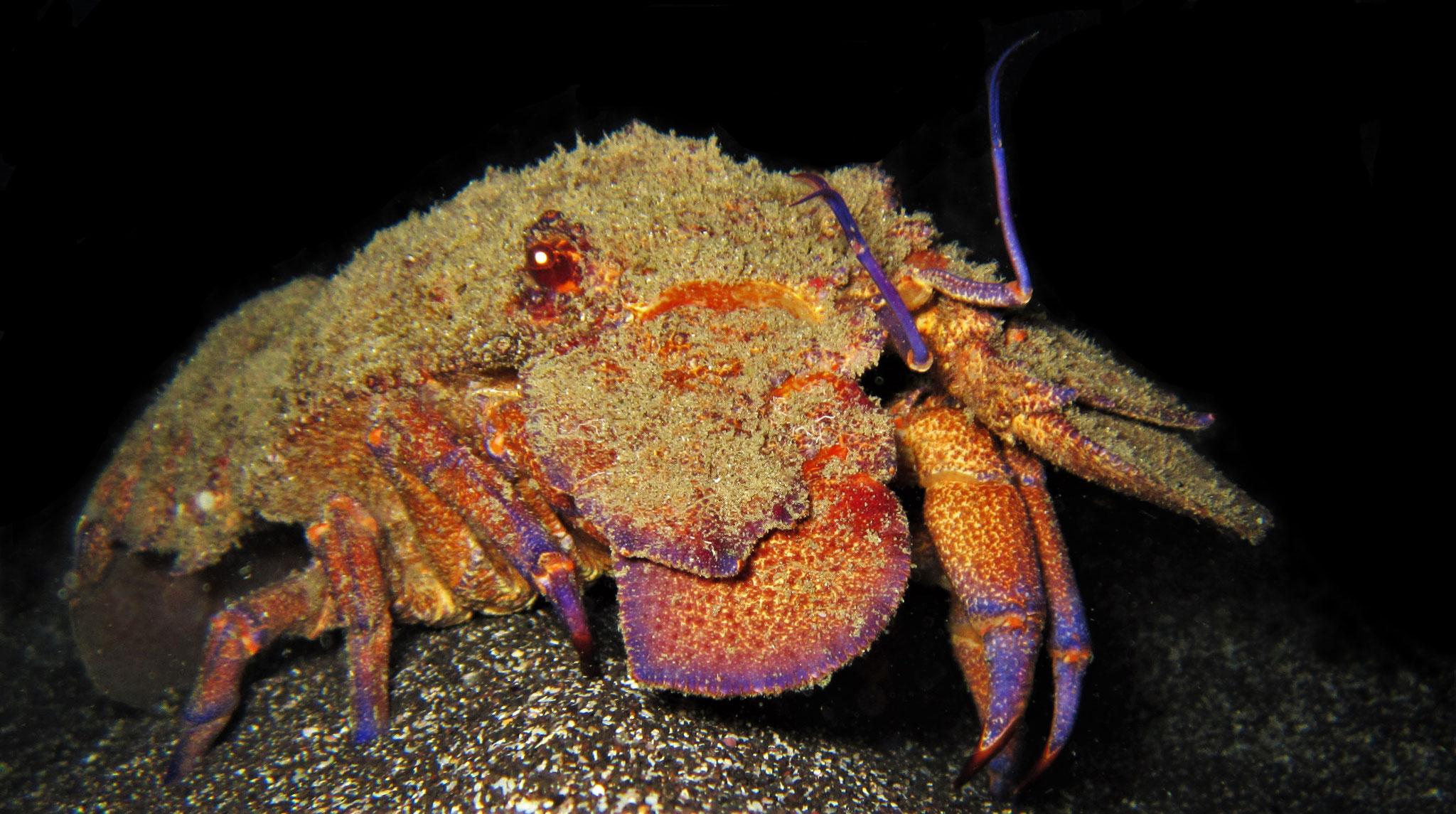 slipper lobster - Scyllarides latus - Cabo Verde - pic by Markus Jimi Ivan - www.jimiivan.at