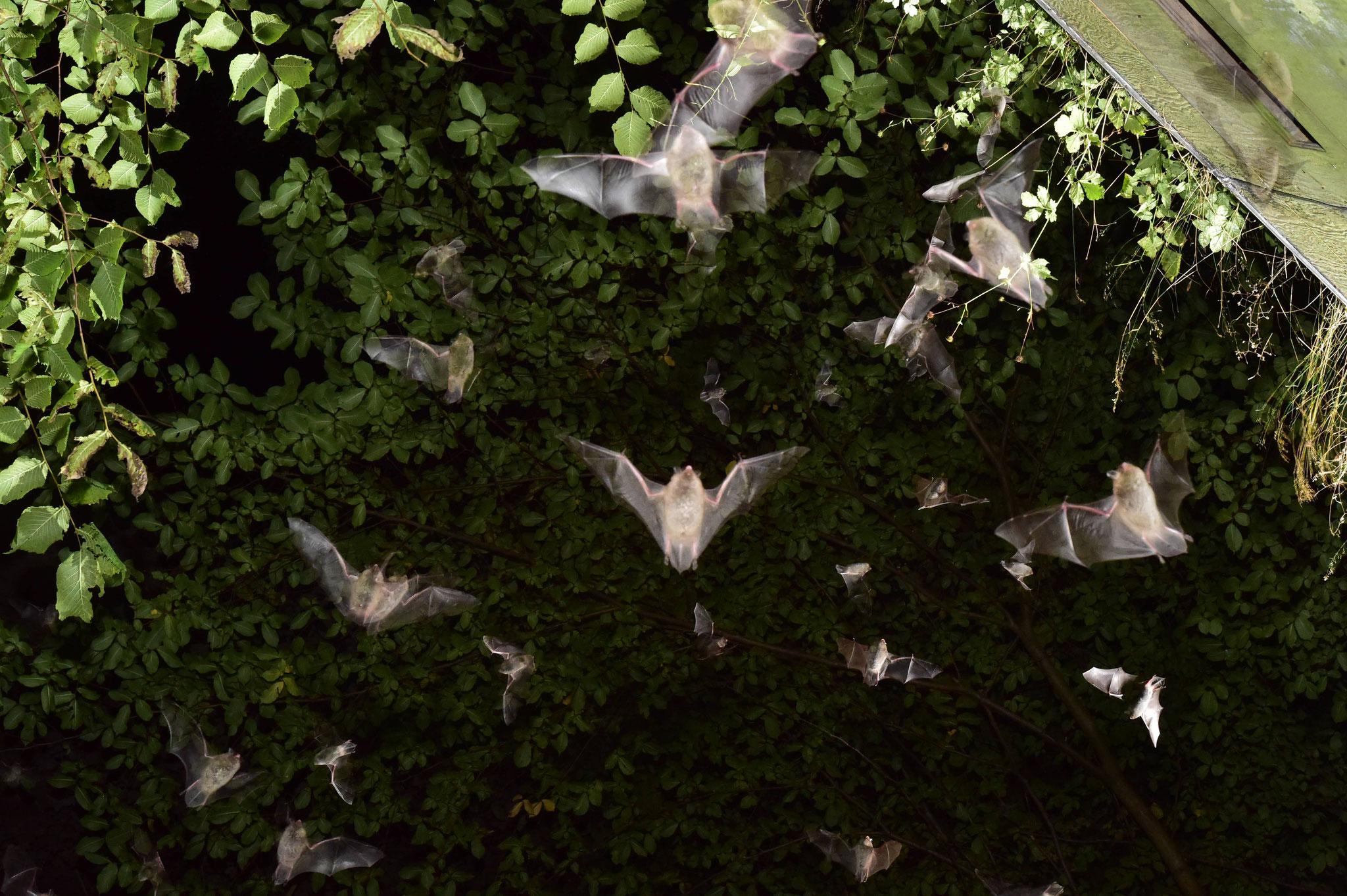 Das Einschwärmen der Fledermäuse in die Segeberger Kalkberghöhle ist eines der geheimnisvollsten Naturschauspiele Norddeutschlands. Am 24. August ab 22.00 Uhr live zu erleben auf der Bat Night Bad Segeberg.