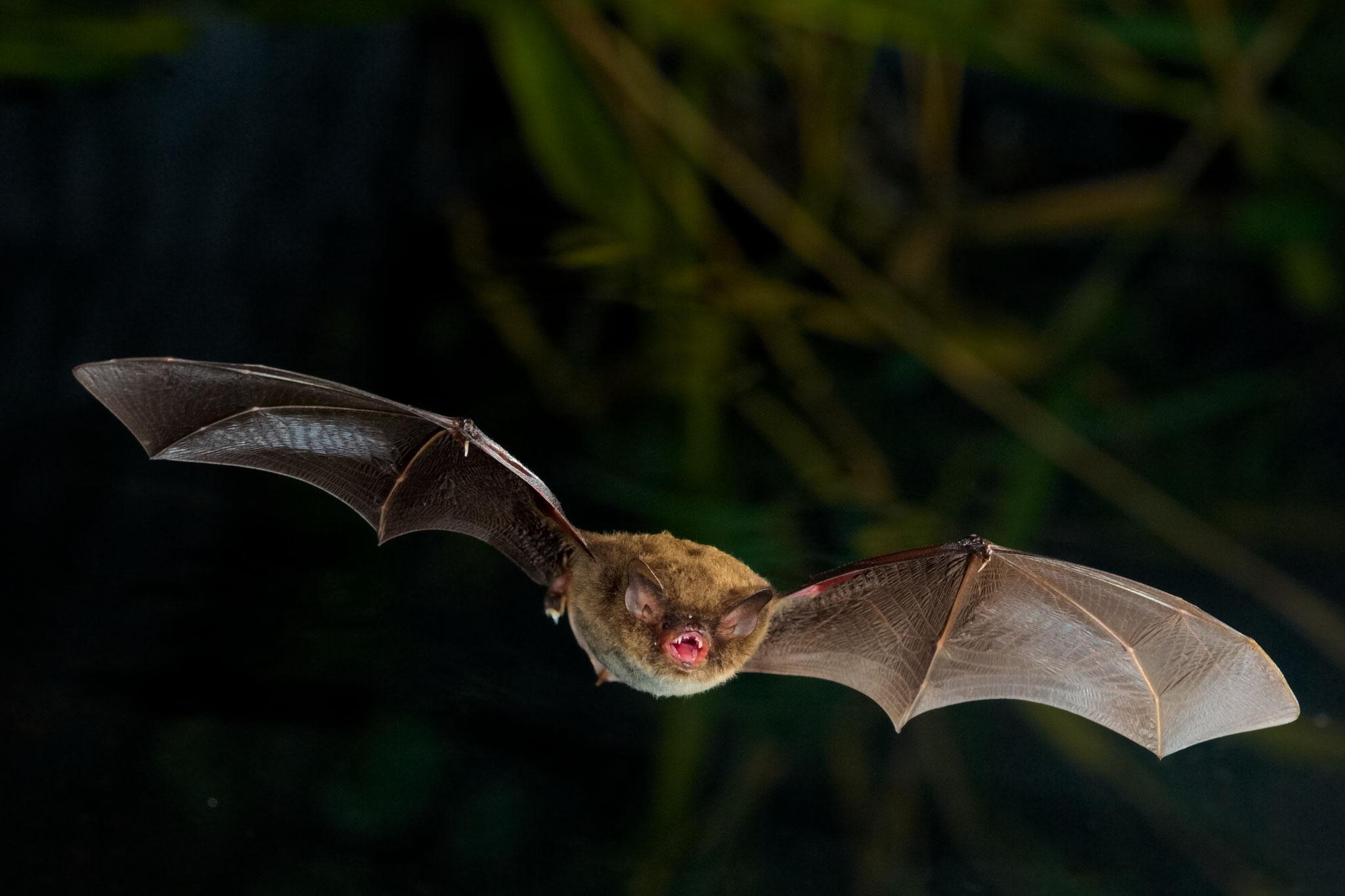 Der Stars des Abends! Wasserfledermaus und Co. auf der Bat Night bei der Jagd beobachten.