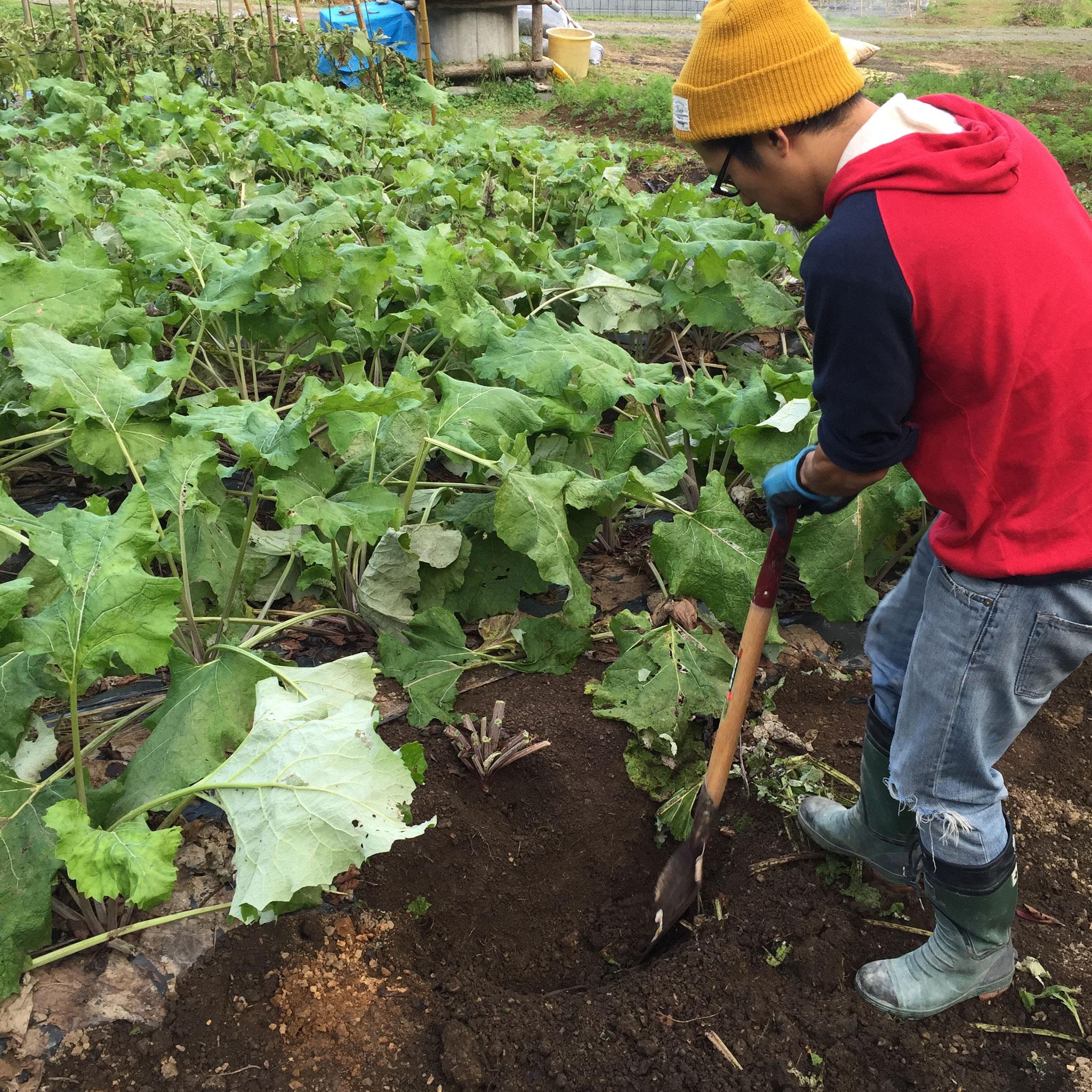 いよいよ、ごぼう掘りスタート!ごぼうの葉っぱは思いのほか大きい!一株選んで、シャベルで周りから掘っていきます。