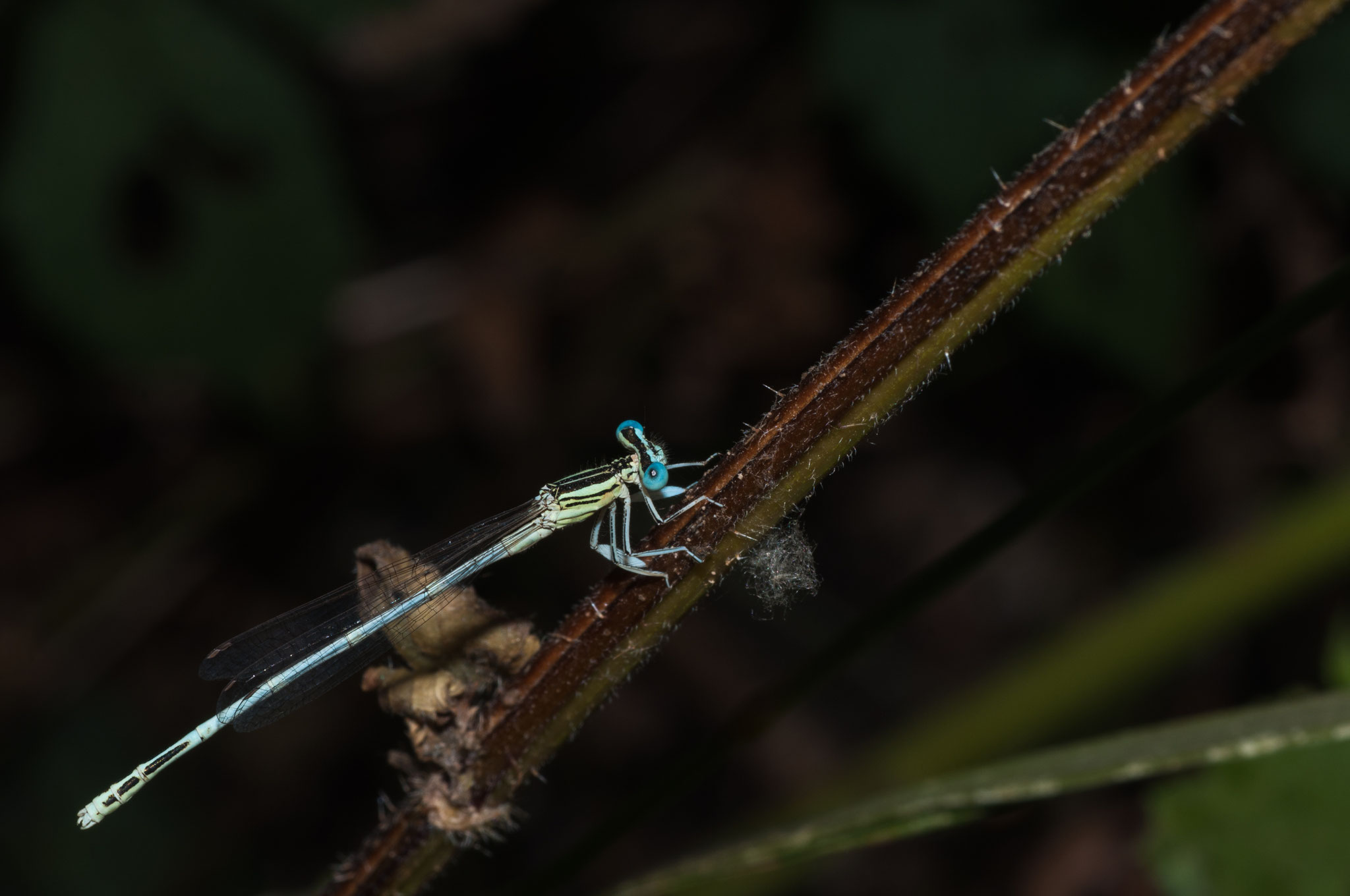 Platycnemis latipes