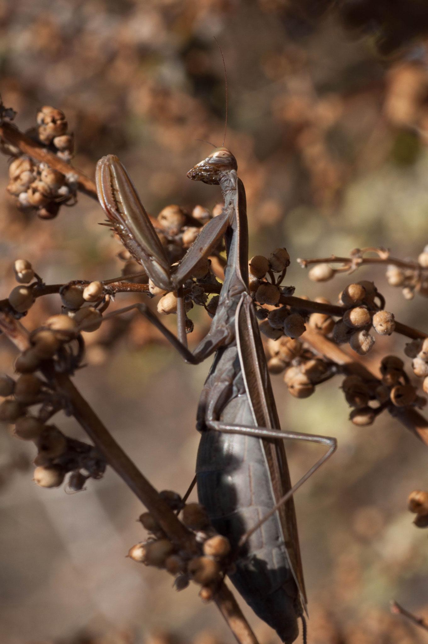 Mantis religiosa Embarazada