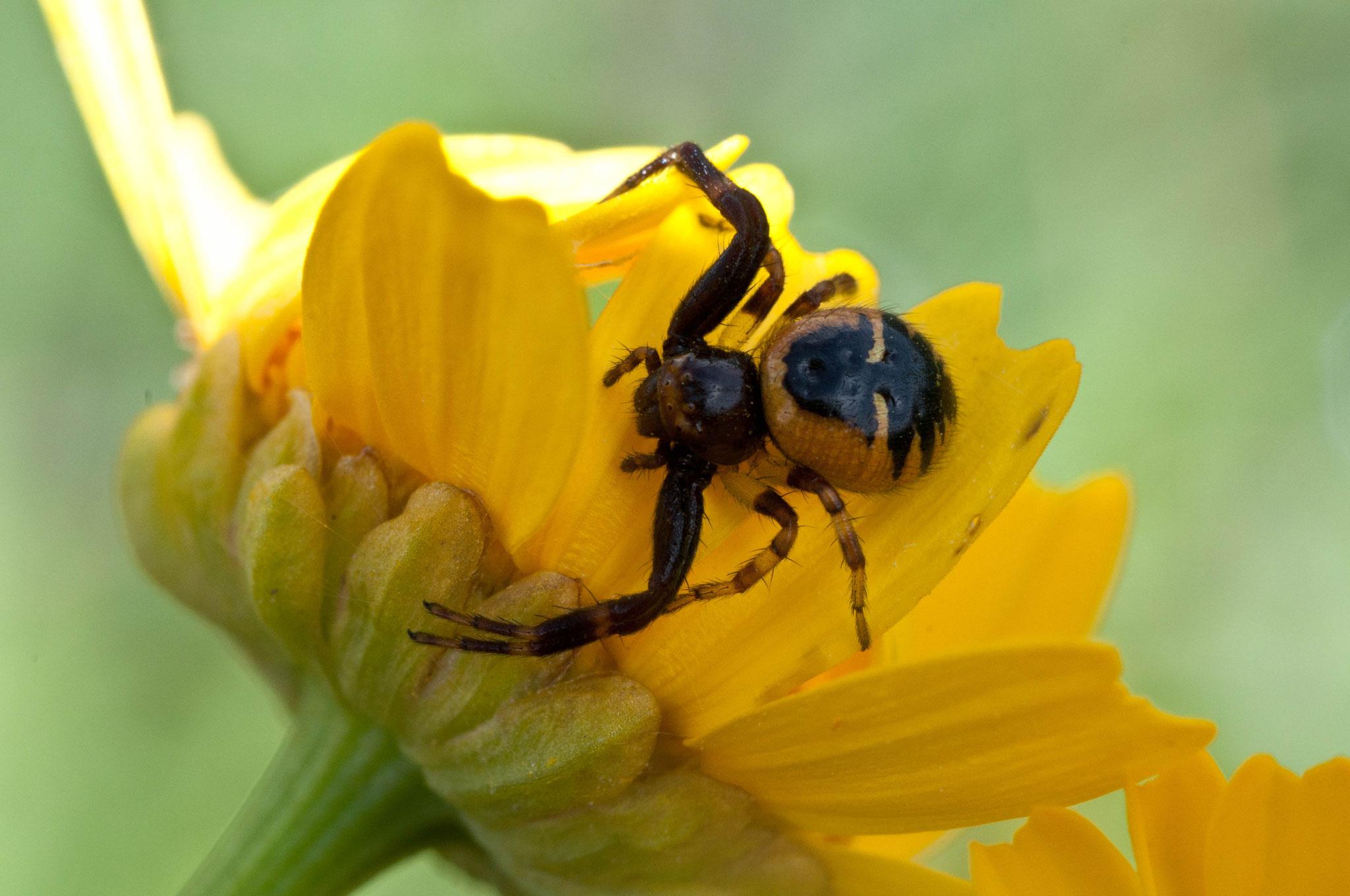 Araña cangrejo/Synema globosum/araña Napoleon