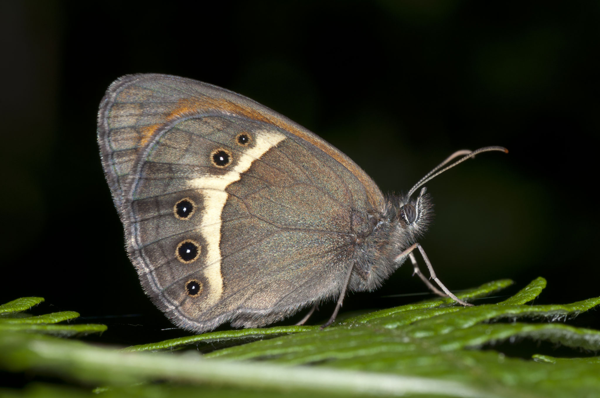 Pyronia bathseba (Lobito listado)