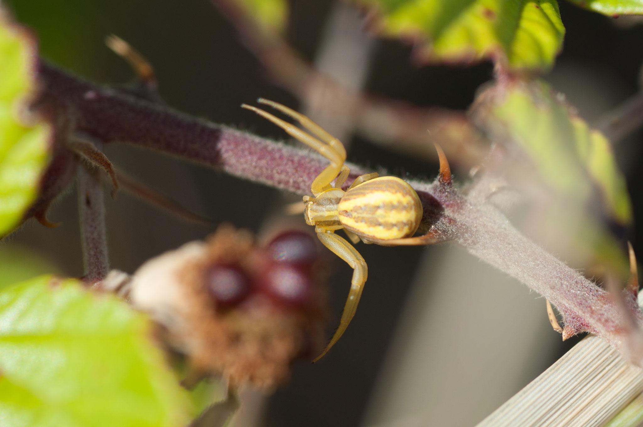 Araña cangrejo/Runcinia grammica