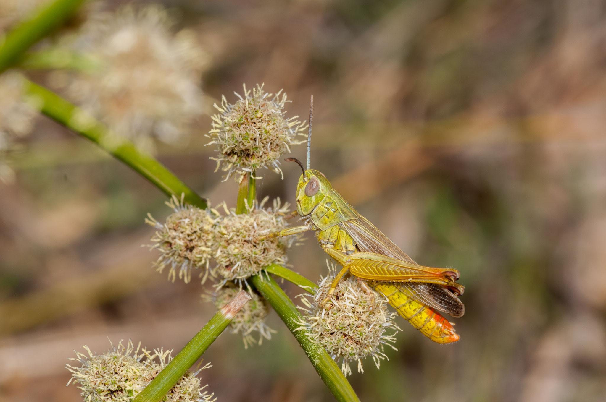 Chorthippus apicalis