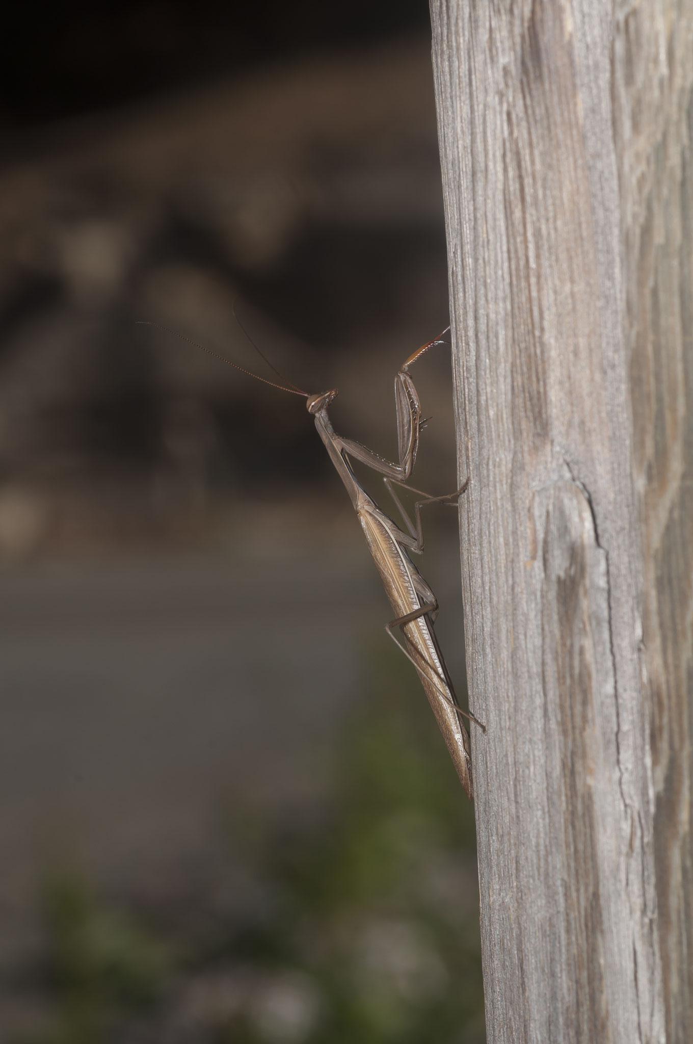 Mantis religiosa o Santa teresa