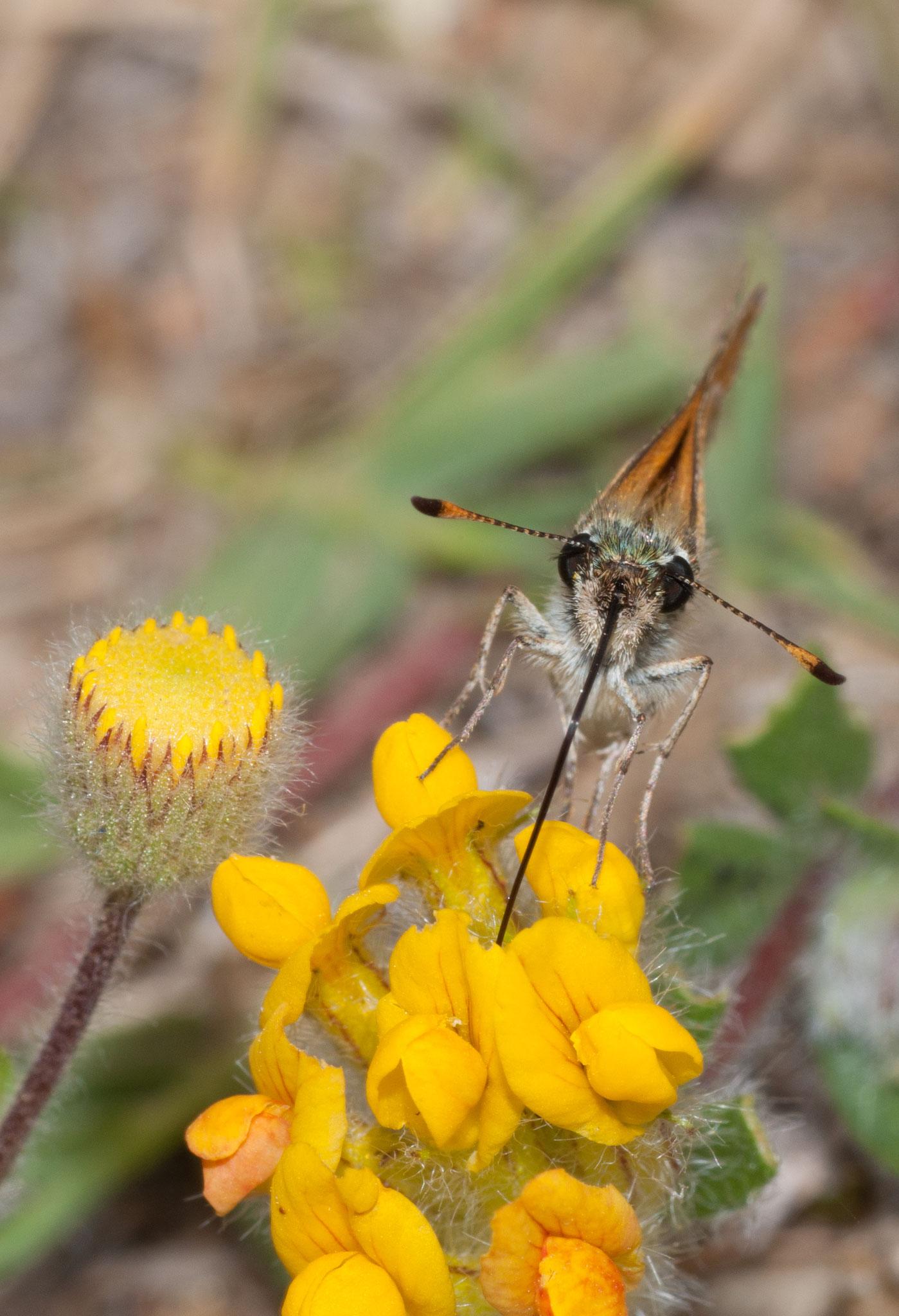 Thymilicus  lineola (Dorada línea corta)