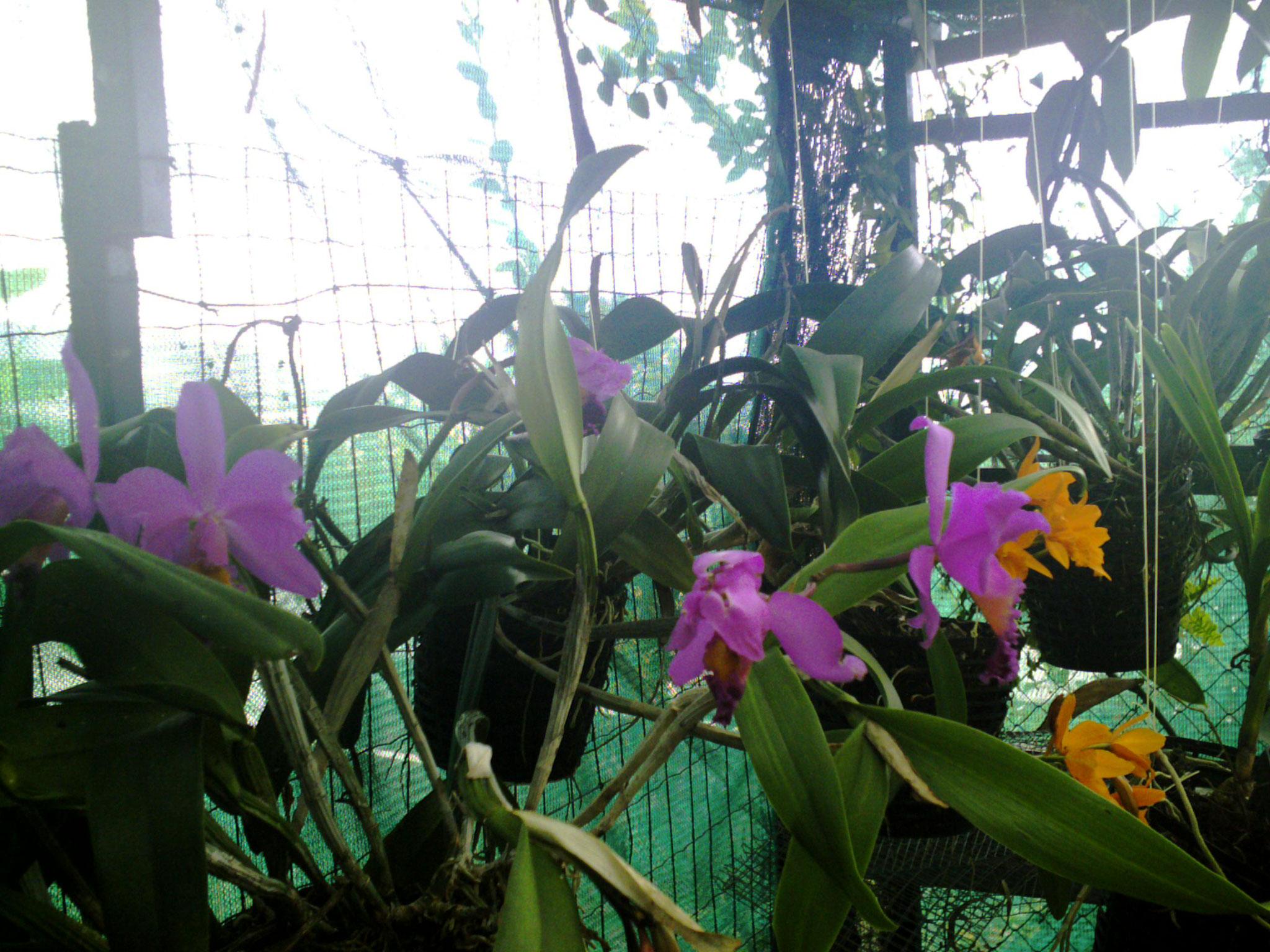 les orchidées de la serre
