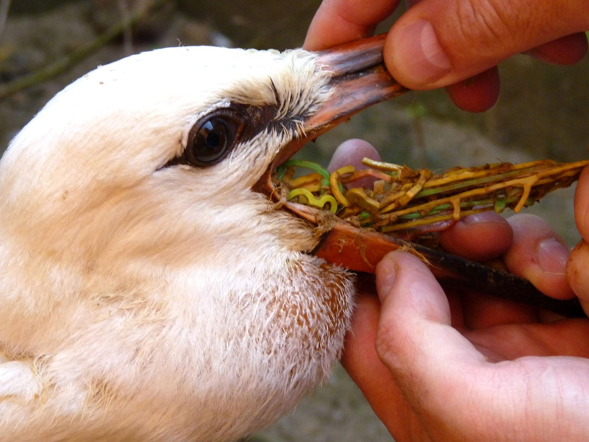 Dieser Storch hatte hunderte Gummibänder verschluckt, die er scheinbar mit Würmern verwechelt hat