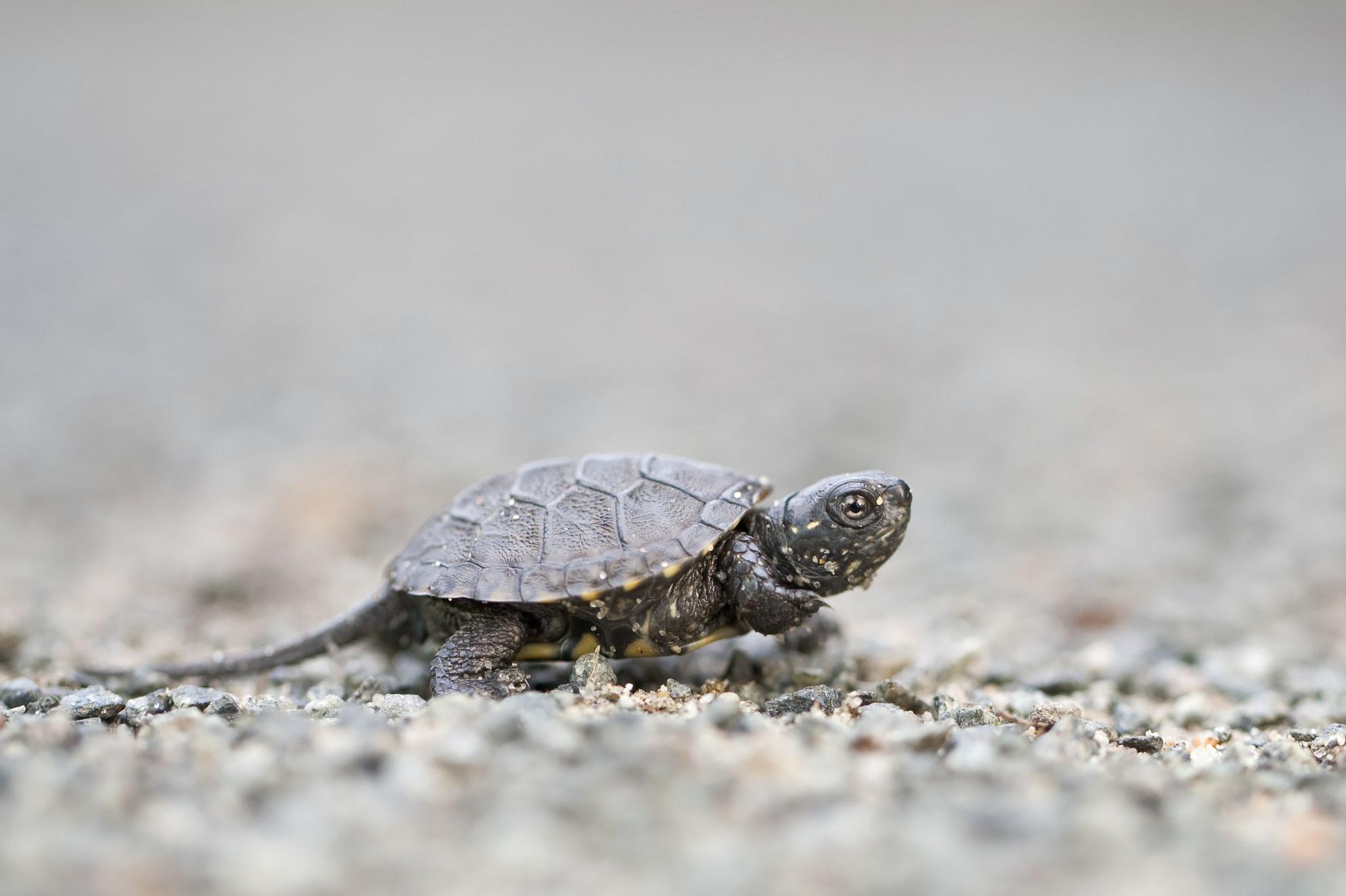 junge Europäische Sumpfschildkröte