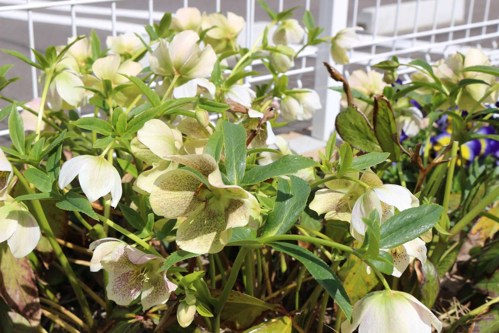 リコリコ保育園の小さな園庭にはいろんな「お花」があります。お子さまと一緒に触れ合いながら見に来てくださいね( ^ω^ )ニコニコ