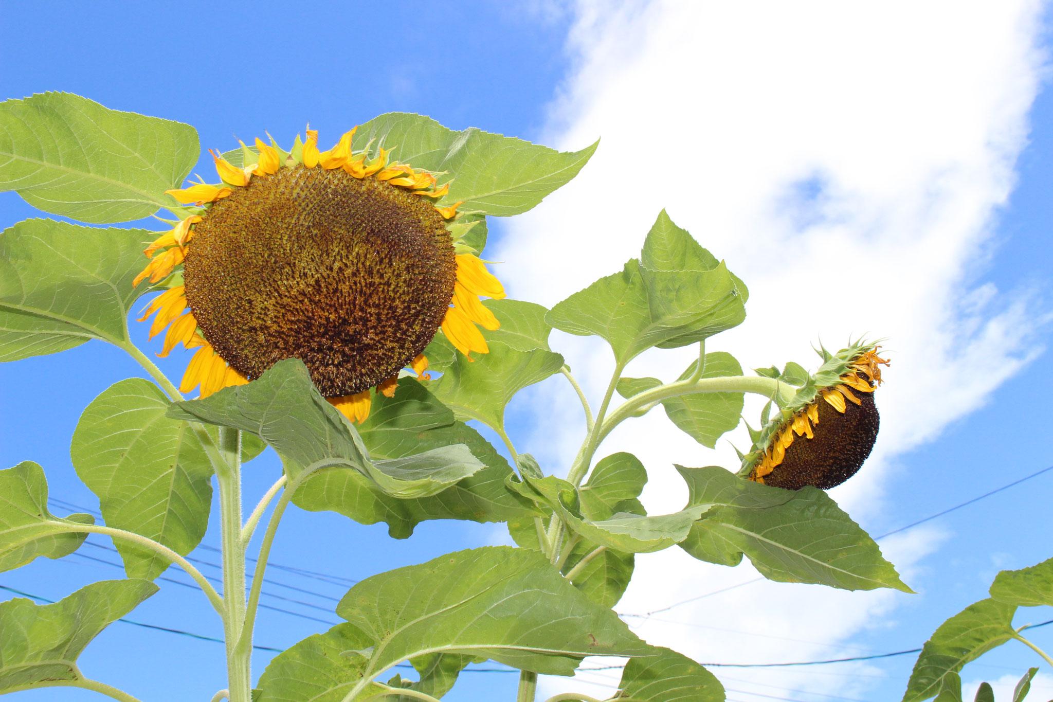 晴天がきれいな日に 夏祭りが開催できて感謝だね~ ひまわりさんも笑っているよ😊