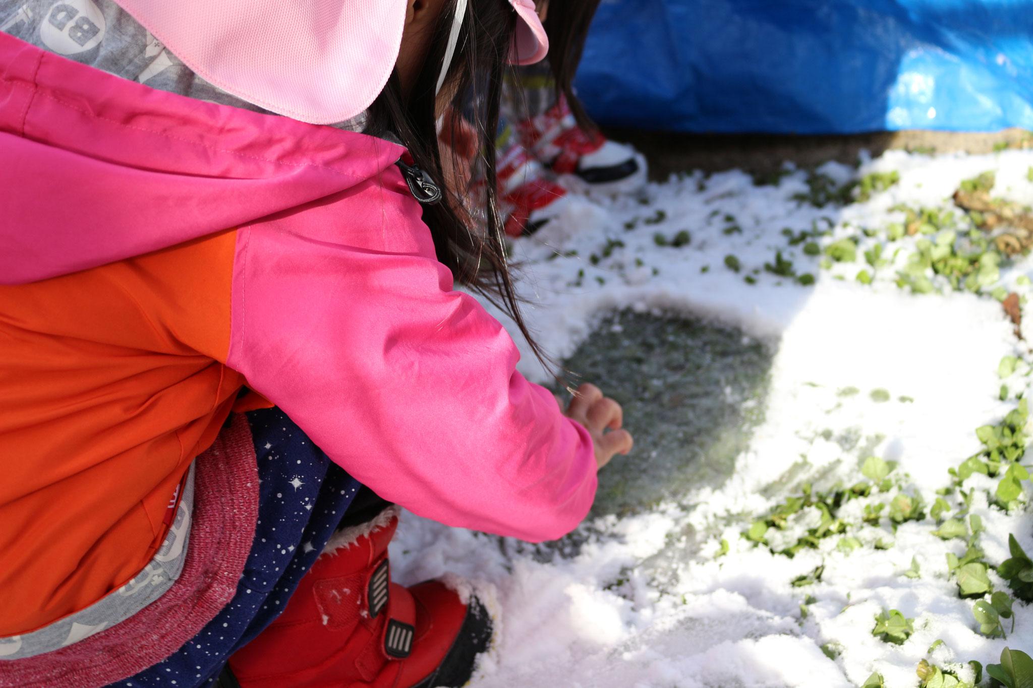クローバーの上に氷を発見!