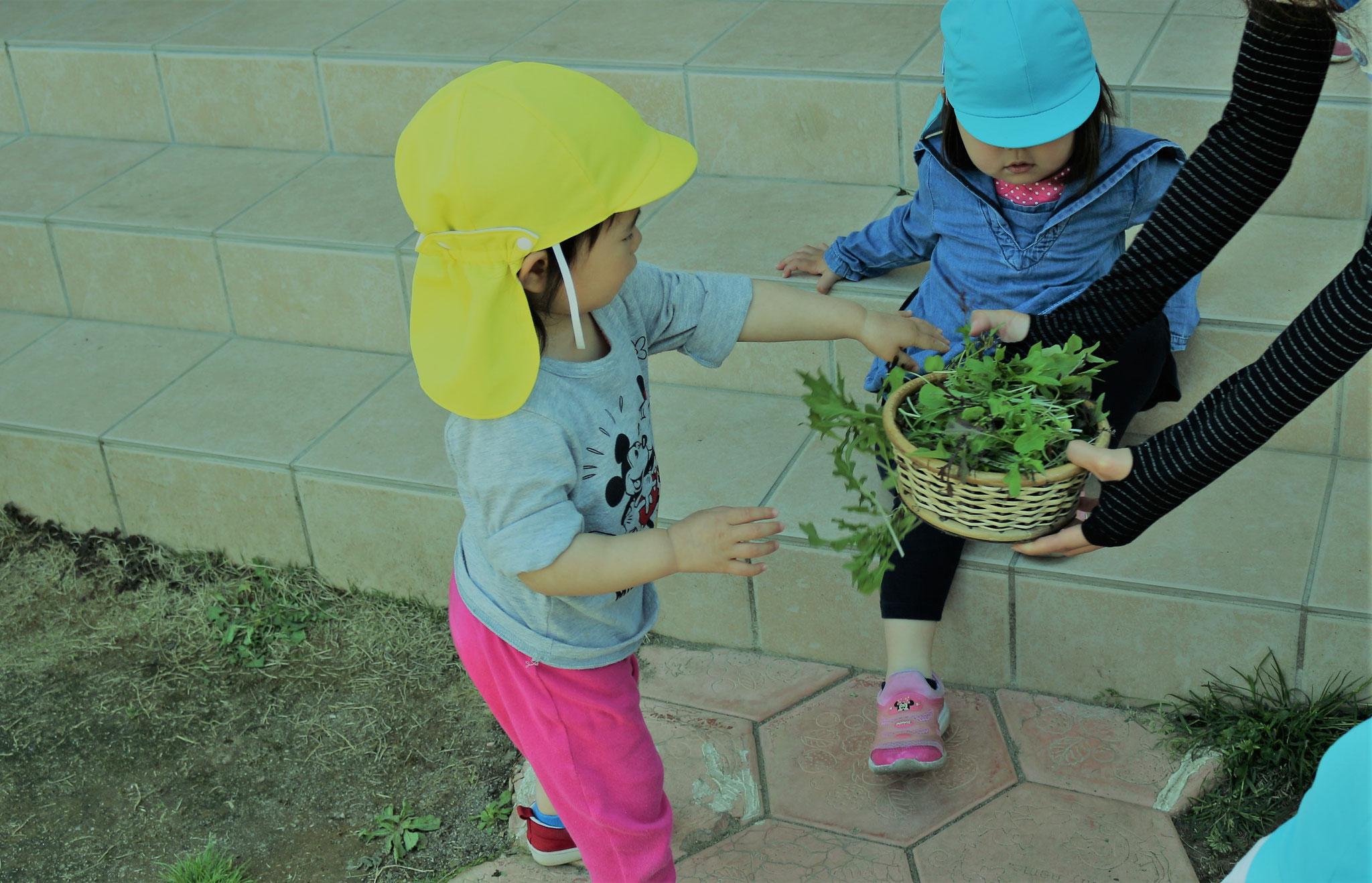 園庭活動②ベビーリーフの収穫