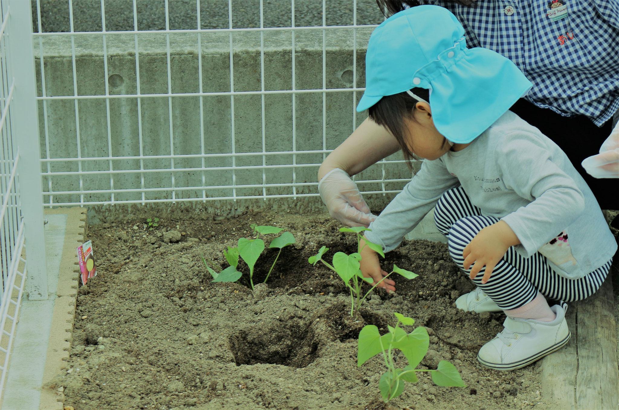 園庭活動①サツマイモ苗植え 他にもカボチャ、パプリカ、バジル、ジャガイモ、スナップエンドウ、トウモロコシを植えています。