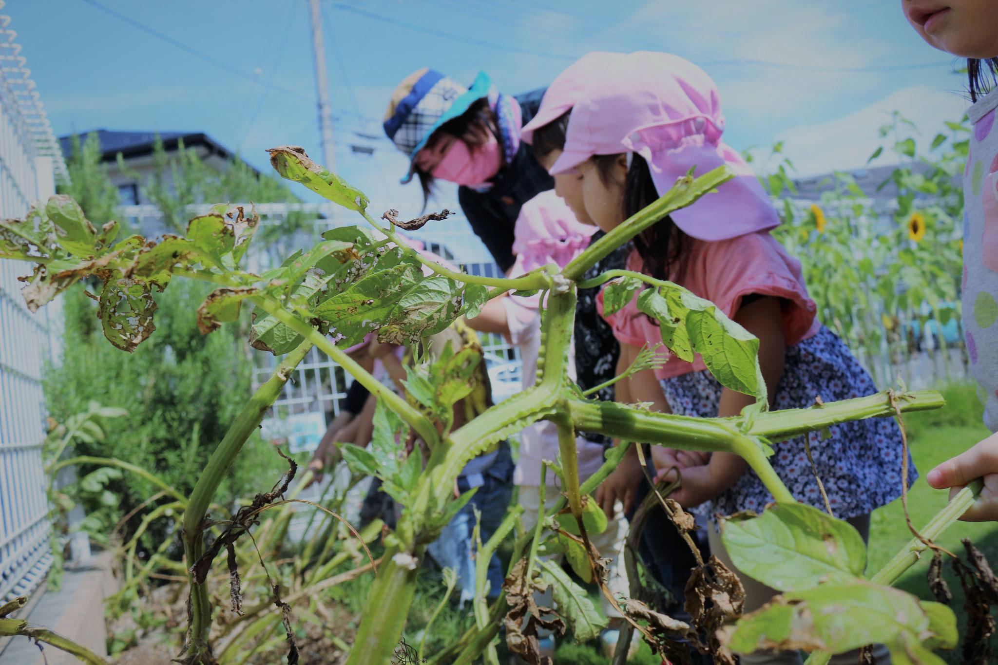 春に植えたジャガイモの収穫の日