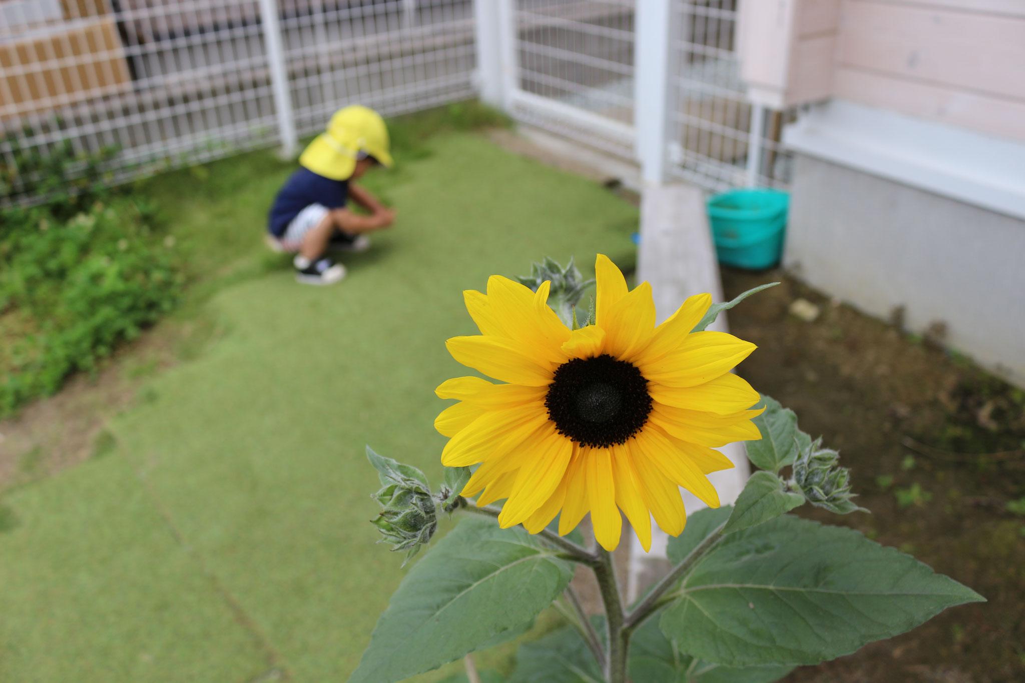 ひまわりも咲いたので 真夏はもうすぐだねι(´Д`υ)アツィー