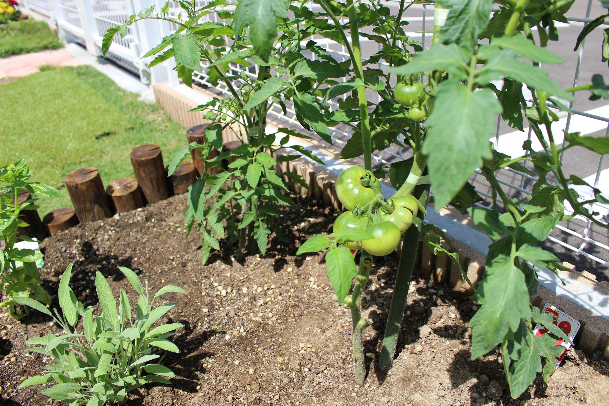 園庭のトマトさん おともだちが「これはパパで これはママで これはわたし」とのエピソードに ほっと心が癒されますね~