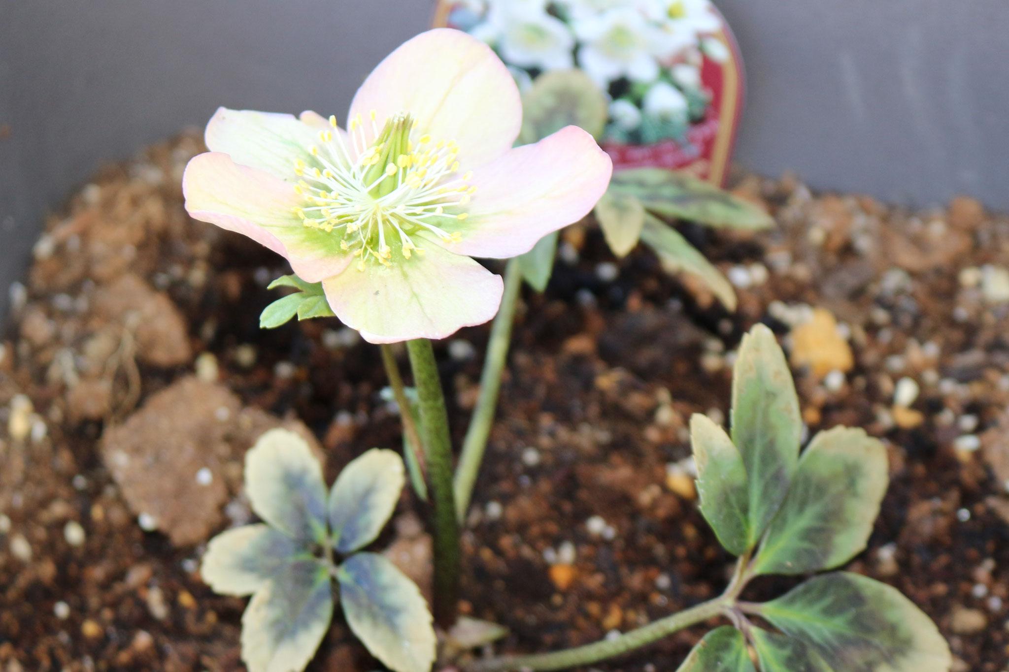 リコリコのリコは「つぼみ」という意味 カプア組のお友だちはどんな「花」を咲かせたかな