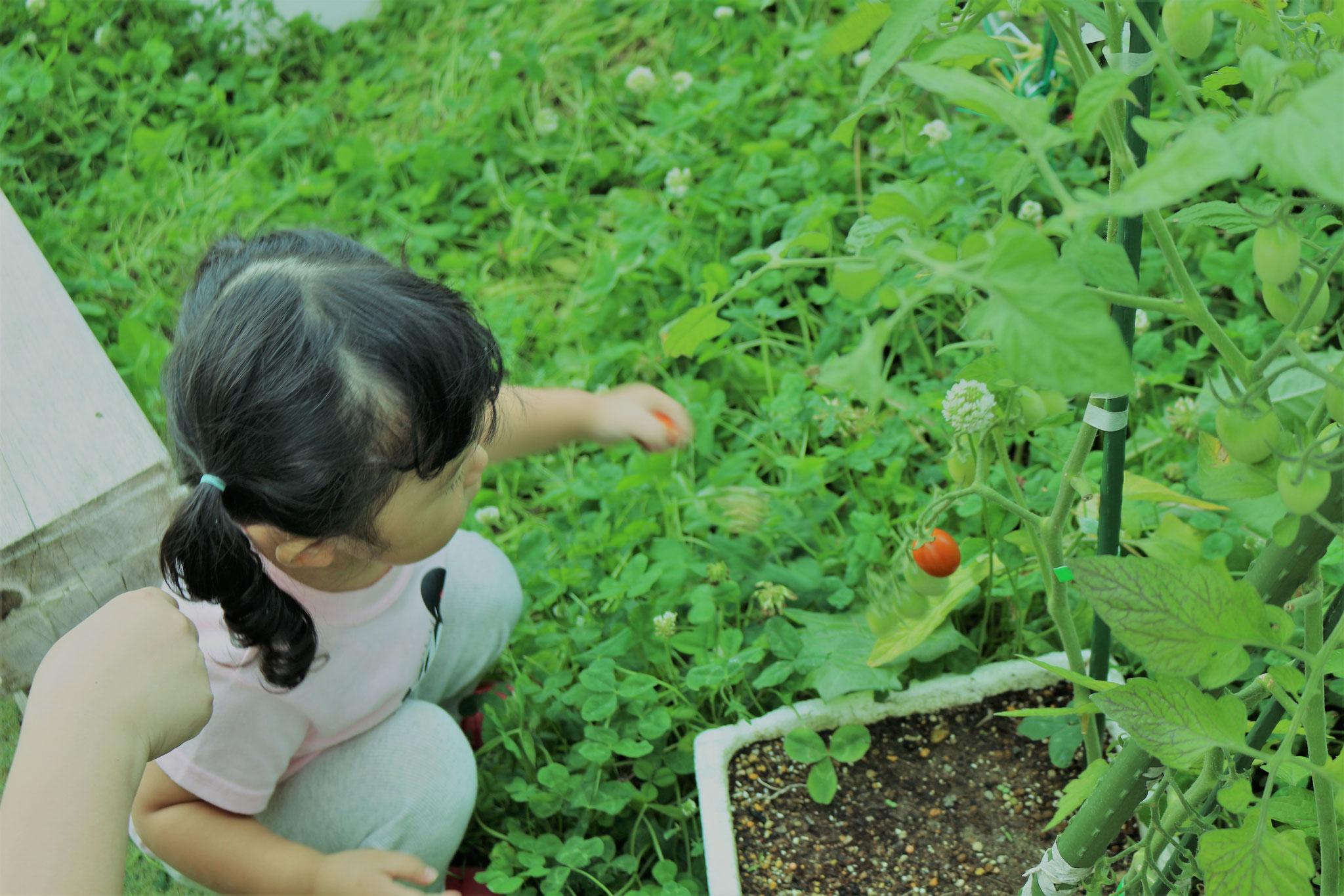 かわいいミニトマト