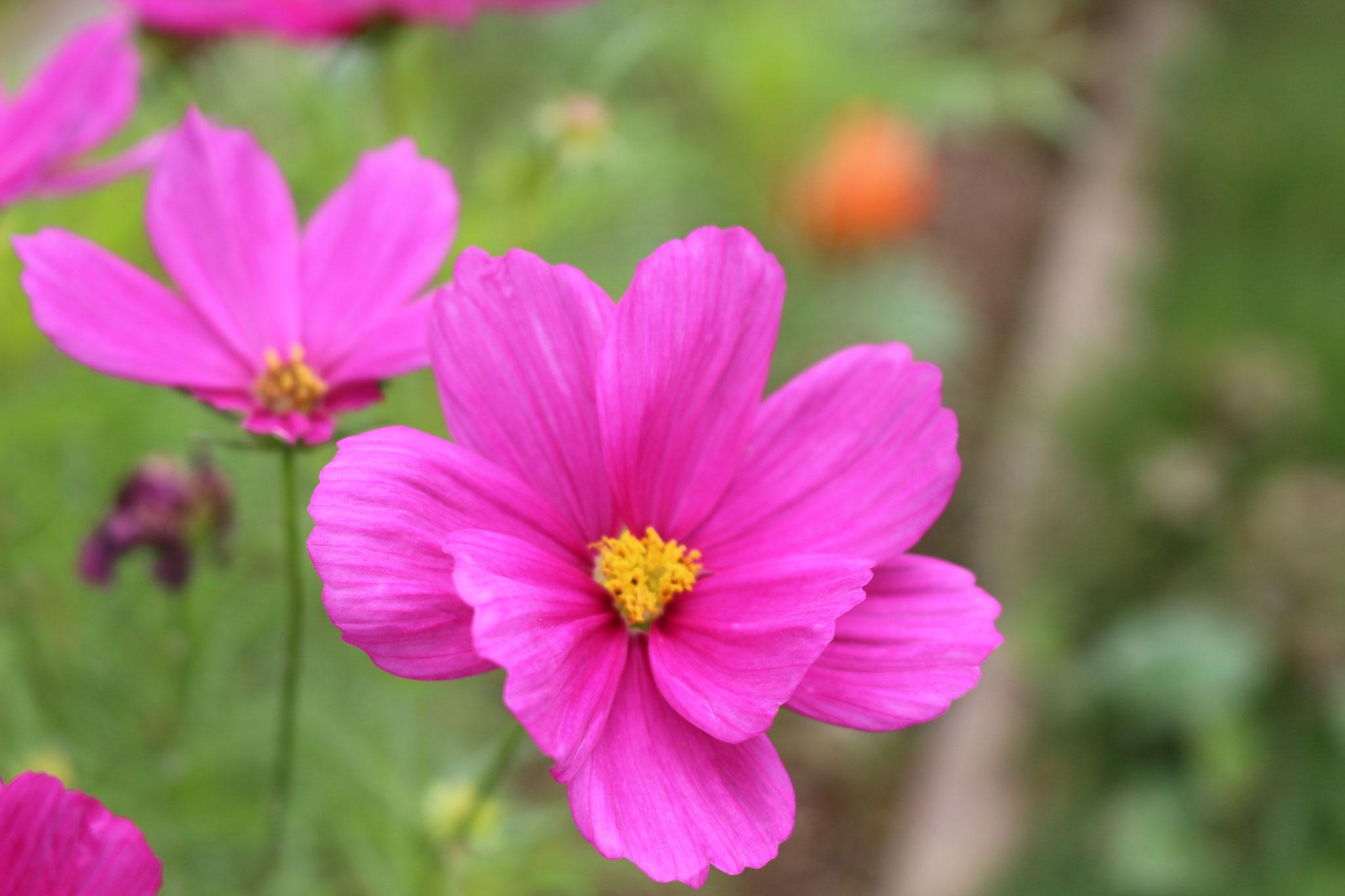 ピンクのコスモスの花言葉は「乙女の純潔」 タネをうえたカプア組のお姉さんはピンクの花が大好きです