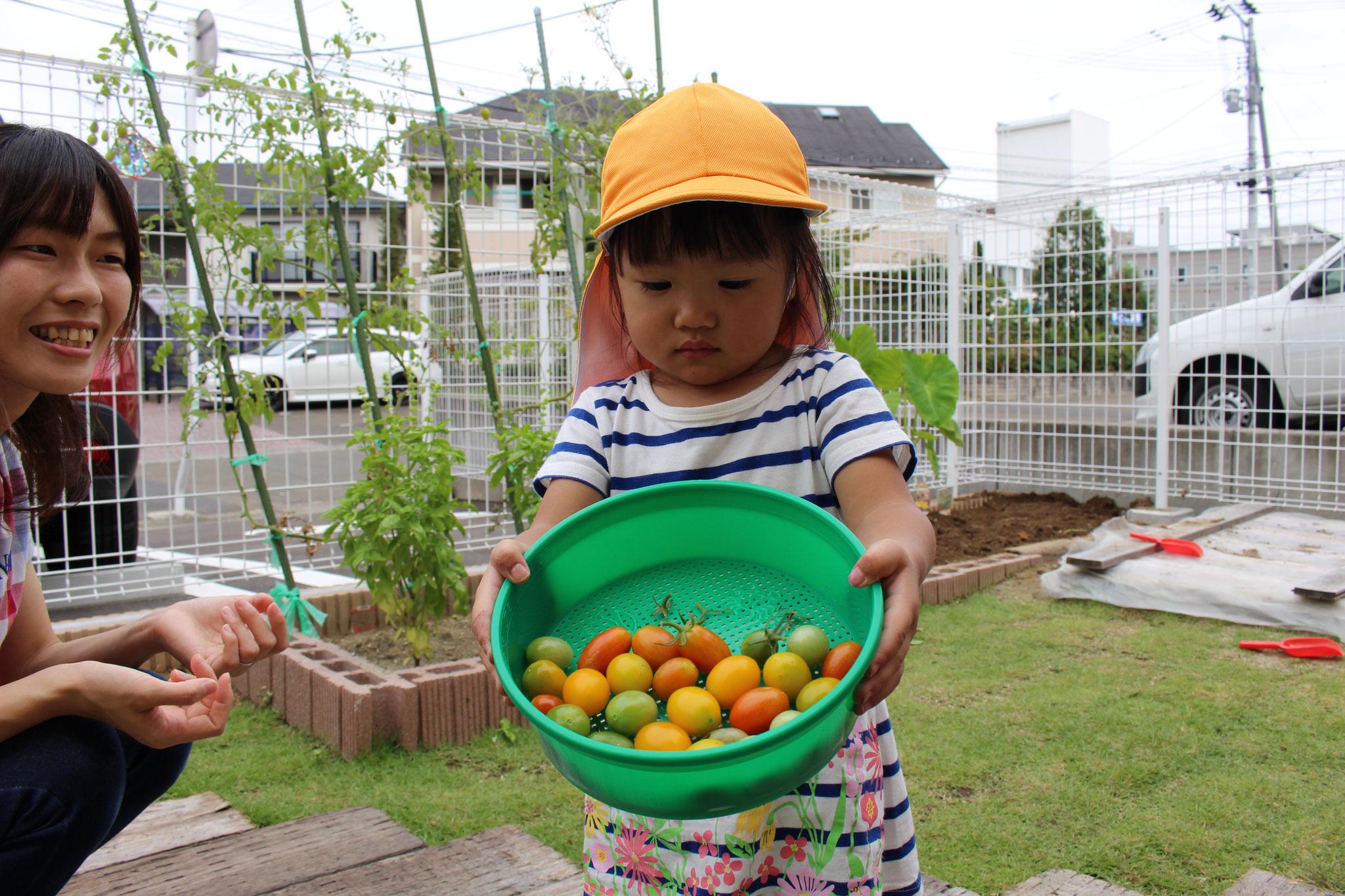 見て 見て こんなに いっぱい かわいいトマトが取れたよ~